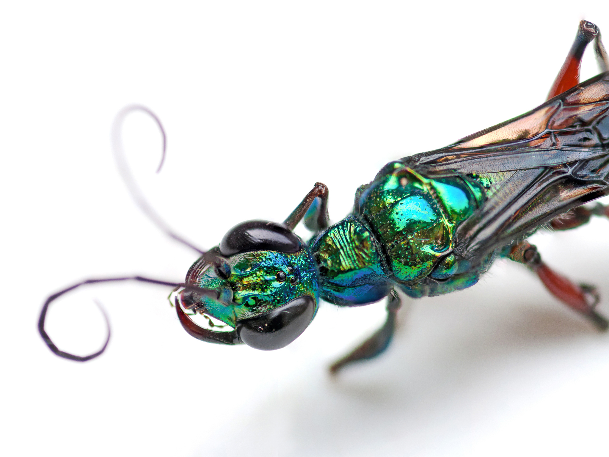 The emerald cockroach wasp or jewel wasp (<em>Ampulex compressa</em>) is a solitary wasp of the family Ampulicidae. The species is known for its unusual reproductive behavior, which involves stinging a cockroach and using it as a host for its larvae. Photo by Kimie Shimabukuro/Getty Images
