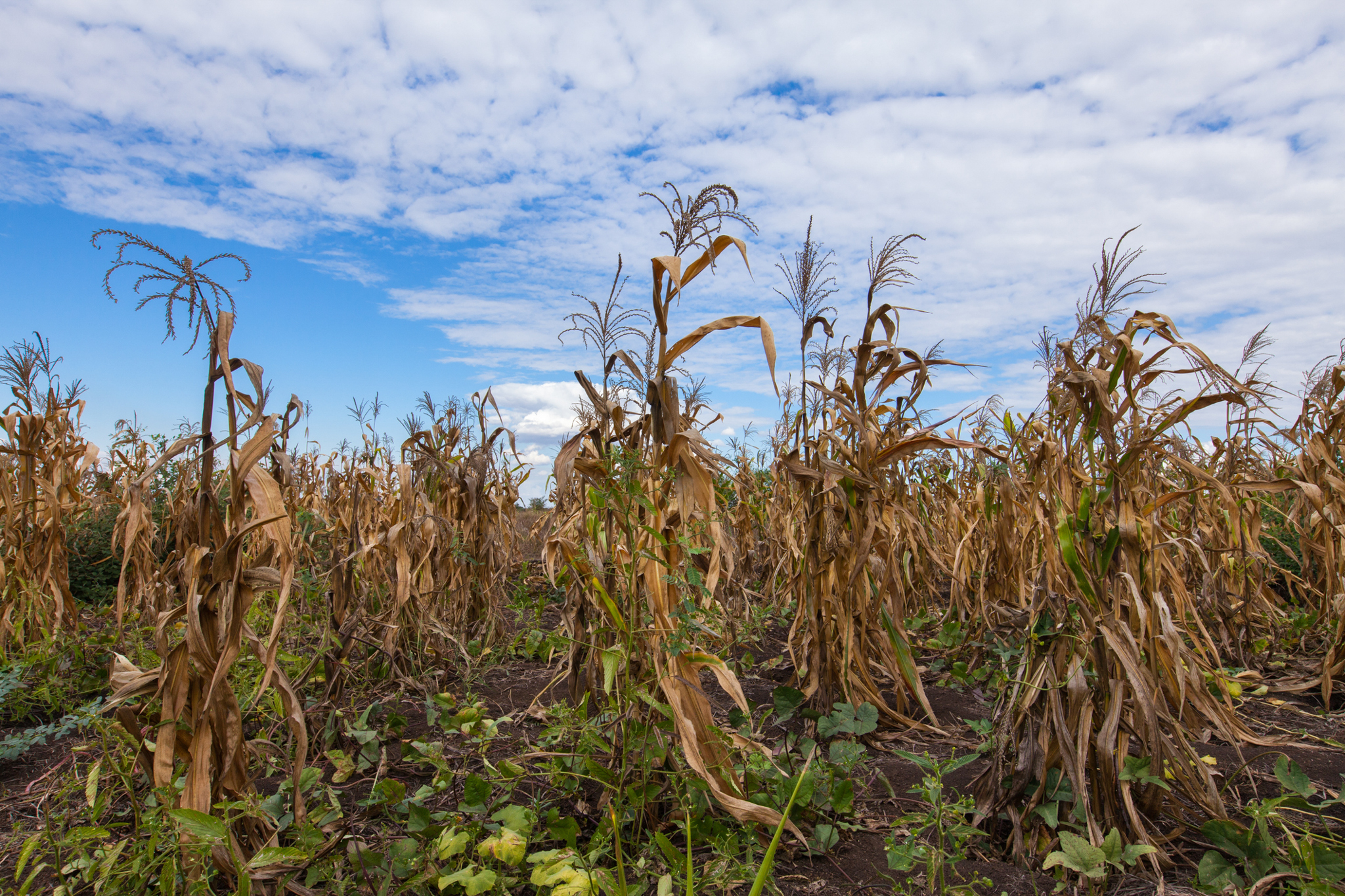 Maize plants wither in a field in southern Malawi, victims of severe drought conditions brought on by the 2016 El Niño. Climate change has made scenes like this increasingly common across Africa. Photo by Guido Dingemans, De Eindredactie (Getty)