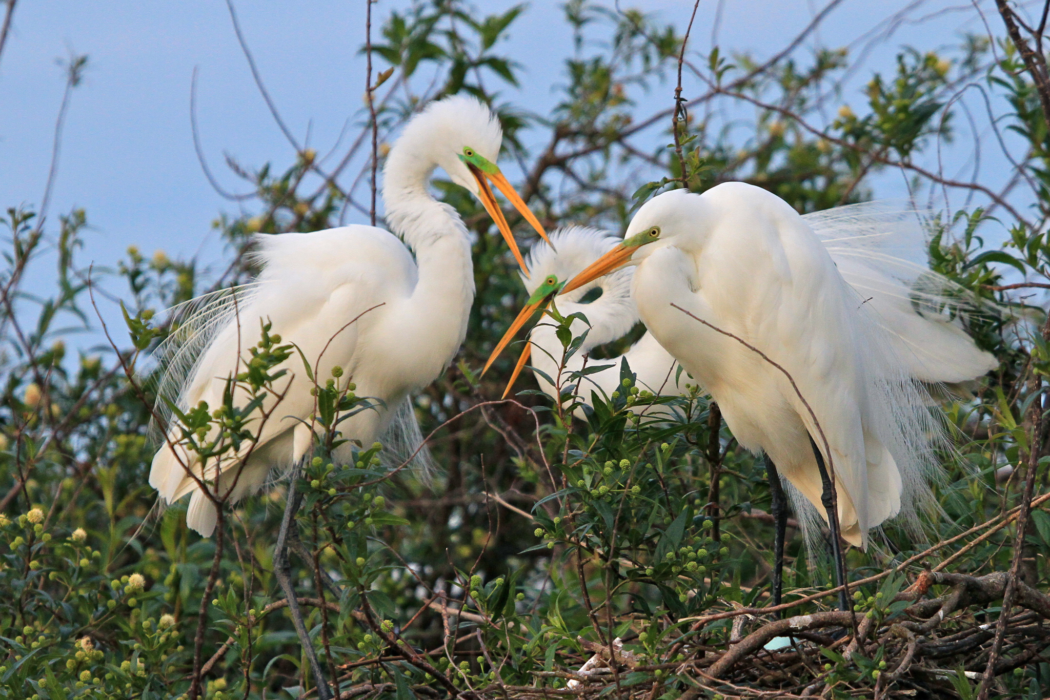 Great egrets gather at their nest colony on a small lagoon at Rincon del Socorro.—Photo by Mike Unwin