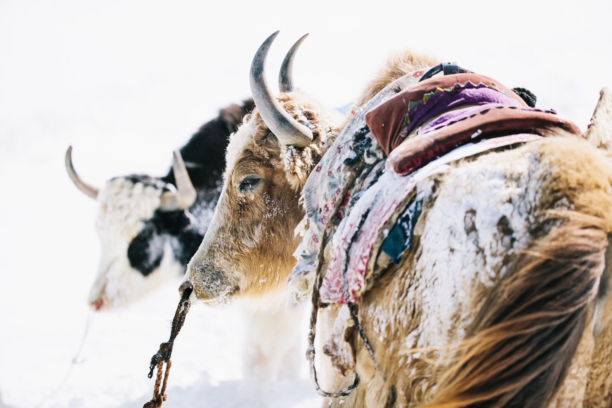 Domestic yaks in Alichur ridden by Panthera biologists and journalist Jason Goldman—photograph by Joel Caldwell