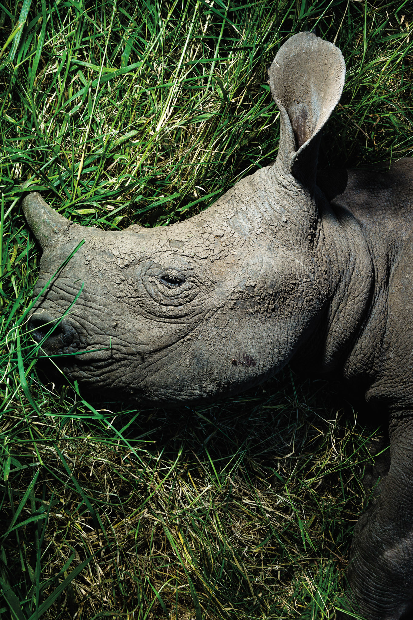 A one-year-old rhino rests in the grass, unaware of the future threats its growing horn will bring. Photograph by Erico Hiller