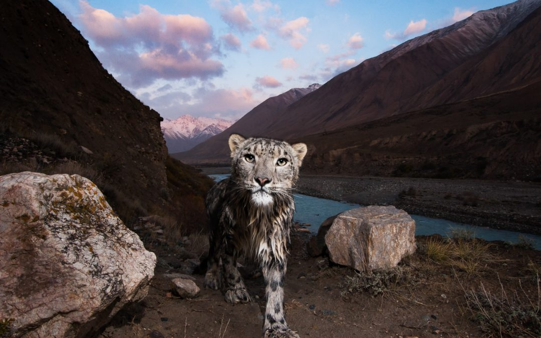 A female snow leopard (Panthera uncia), wet after crossing the Uchkul River, Sarychat-Ertash Strict Nature Reserve, Tien Shan Mountains, eastern Kyrgyzstan—photography by Sebastian Kennerknecht