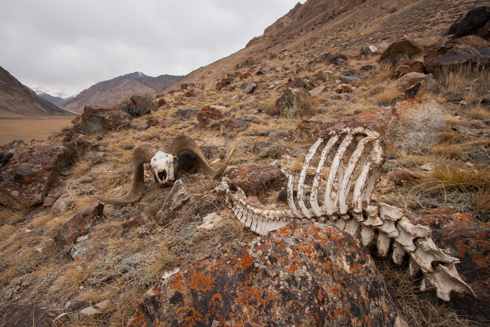 The skeleton and skull of a male argali (Ovis ammon), all that remains of a previous snow leopard (Panthera uncia) kill in the Sarychat-Ertash Strict Nature Reserve, Tien Shan Mountains, eastern Kyrgyzstan. Photograph by Sebastian Kennerknecht