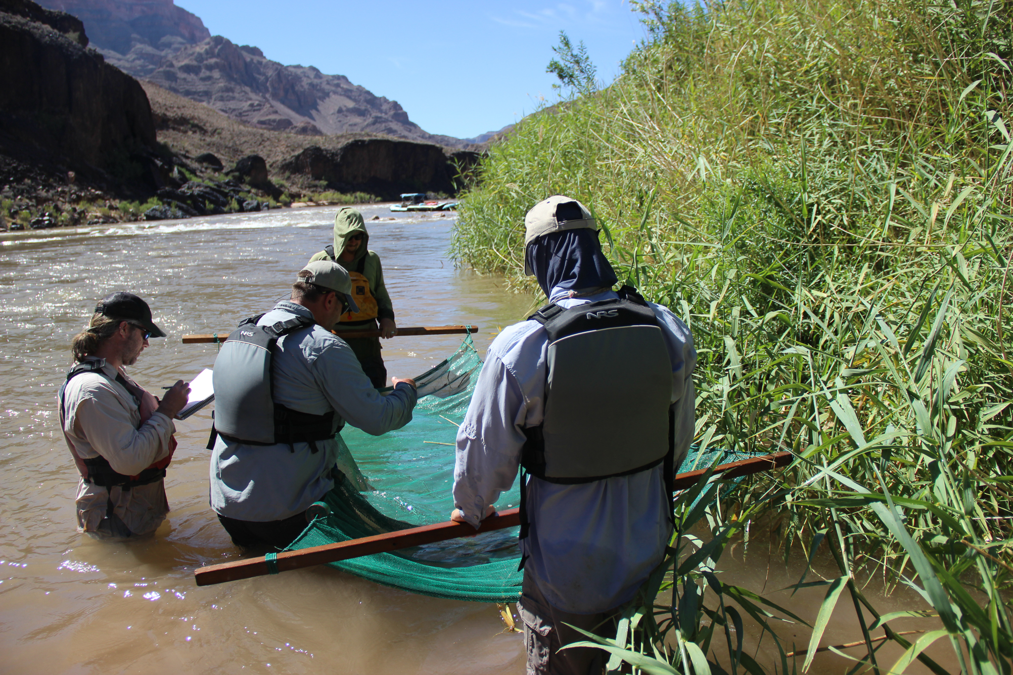 The larval sucker surveying team checks the seine after netting along a fringe of vegetation in the lower Grand Canyon.