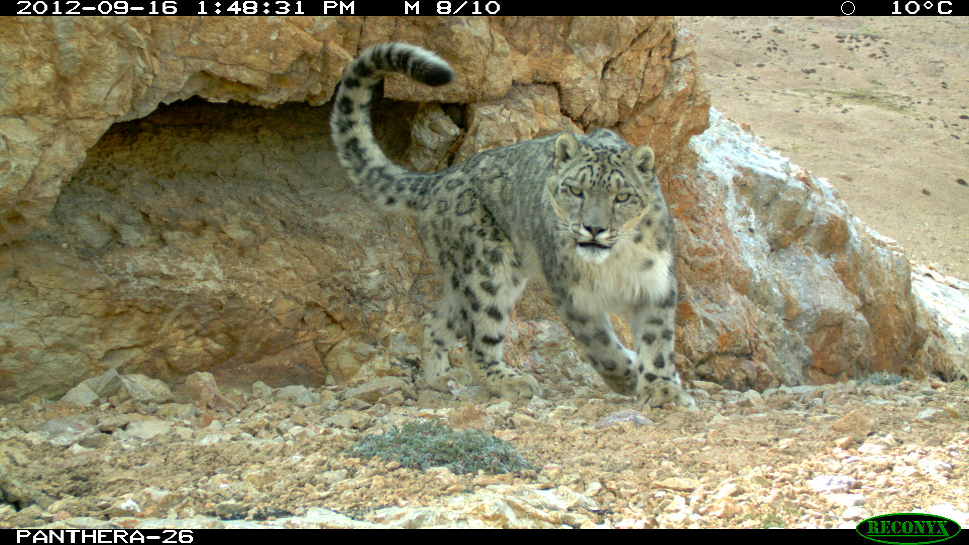 Snow leopard (Panthera uncia) caught by camera trap in Jarty Gumbez, Murghab Conservancy—photograph © Kachel/Panthera/AoS/UD