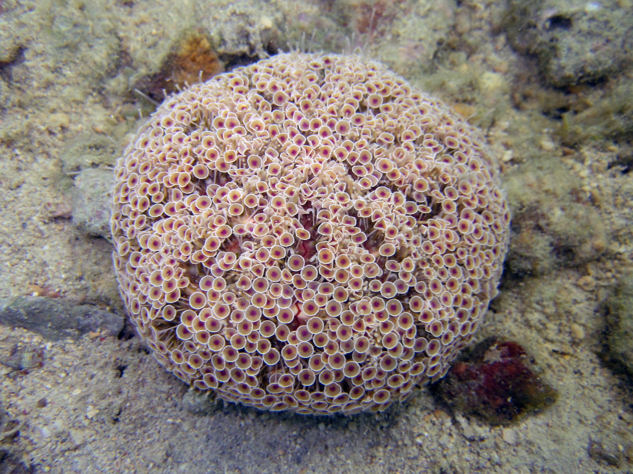 A <em>Toxopneustes pileolus</em> urchin—Photo © Rich Mooi