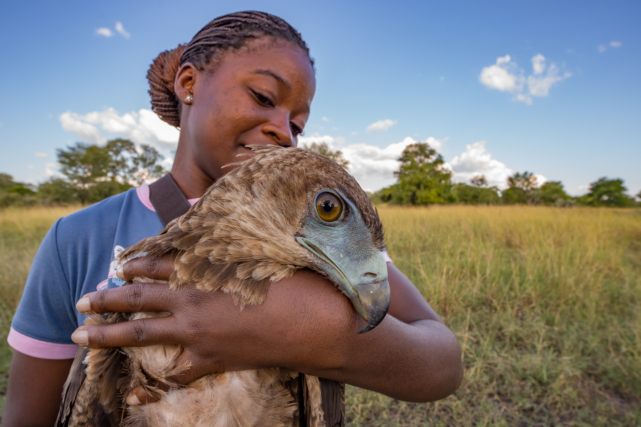 Young Mozambican biologist Diolinda Mundoza cradles a juvenile bateleur eagle (Terathopius ecaudatus) before releasing it. Although vultures are the only known obligate scavengers, many other birds like bateleur eagles, fish eagles, and marabou storks are facultative, or opportunistic, scavengers that compete with vultures for food. Biologists from the Intermountain Bird Observatory measure and tag these important raptors as well.