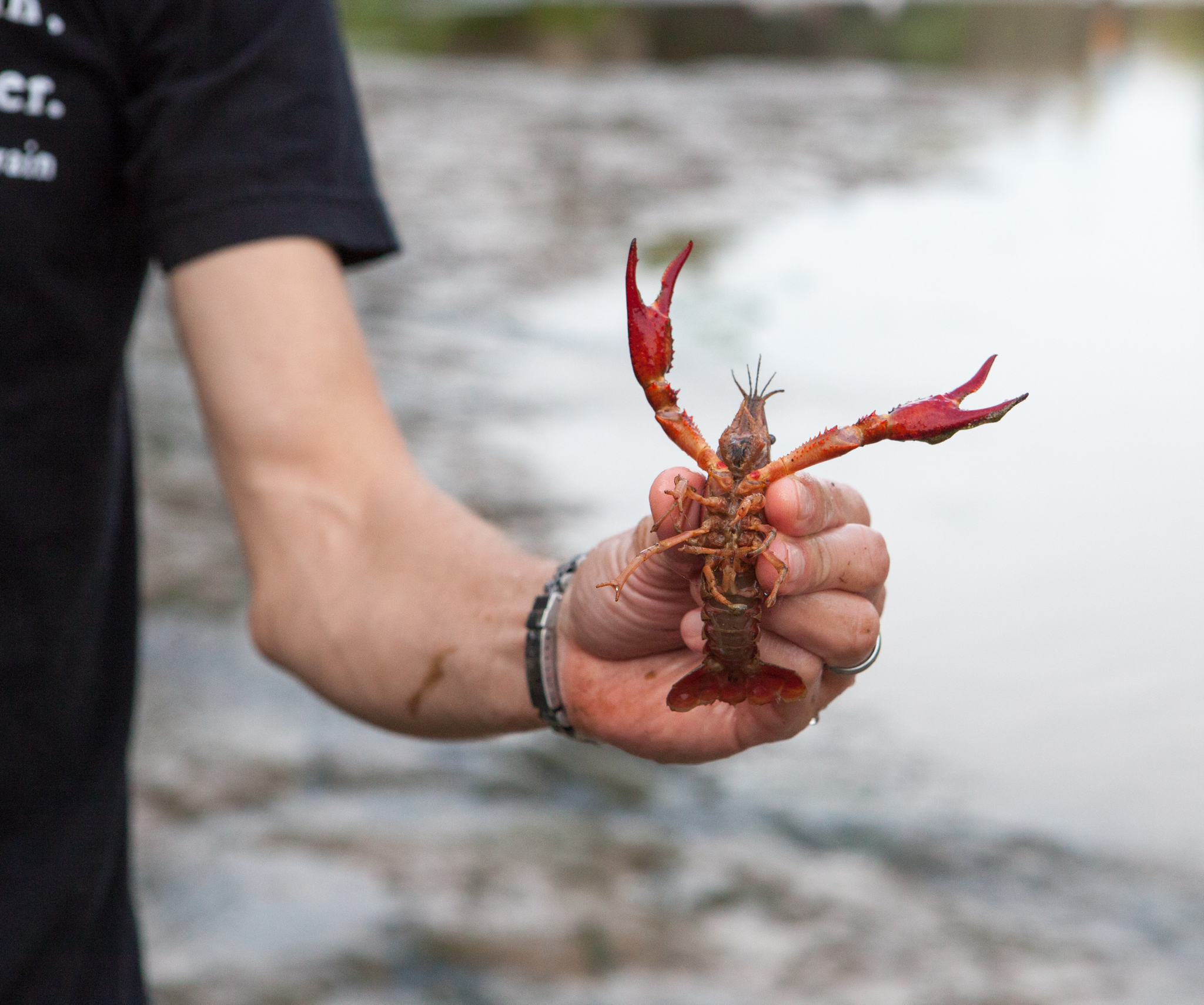 Devitt holds up a red swamp crayfish (Procambarus clarkii), another resident of Barton Springs Pool. The pool is home to numerous species of plants and animals, all forming a functioning ecosystem that the salamanders depend on to survive.
