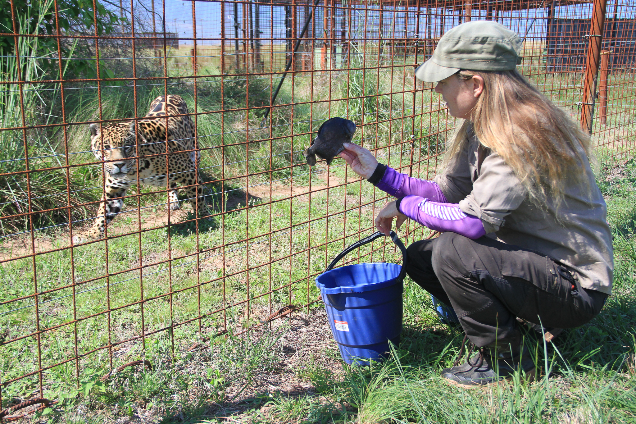 Danish big cat biologist Karina Lerdrup Spørring attracts the attention of Tobuna, a mature female jaguar, by waving a piranha. Held in captivity on the reintroduction island, Tobuna will produce the first cubs to be reintroduced to the wild in Iberá.—Photo by Mike Unwin