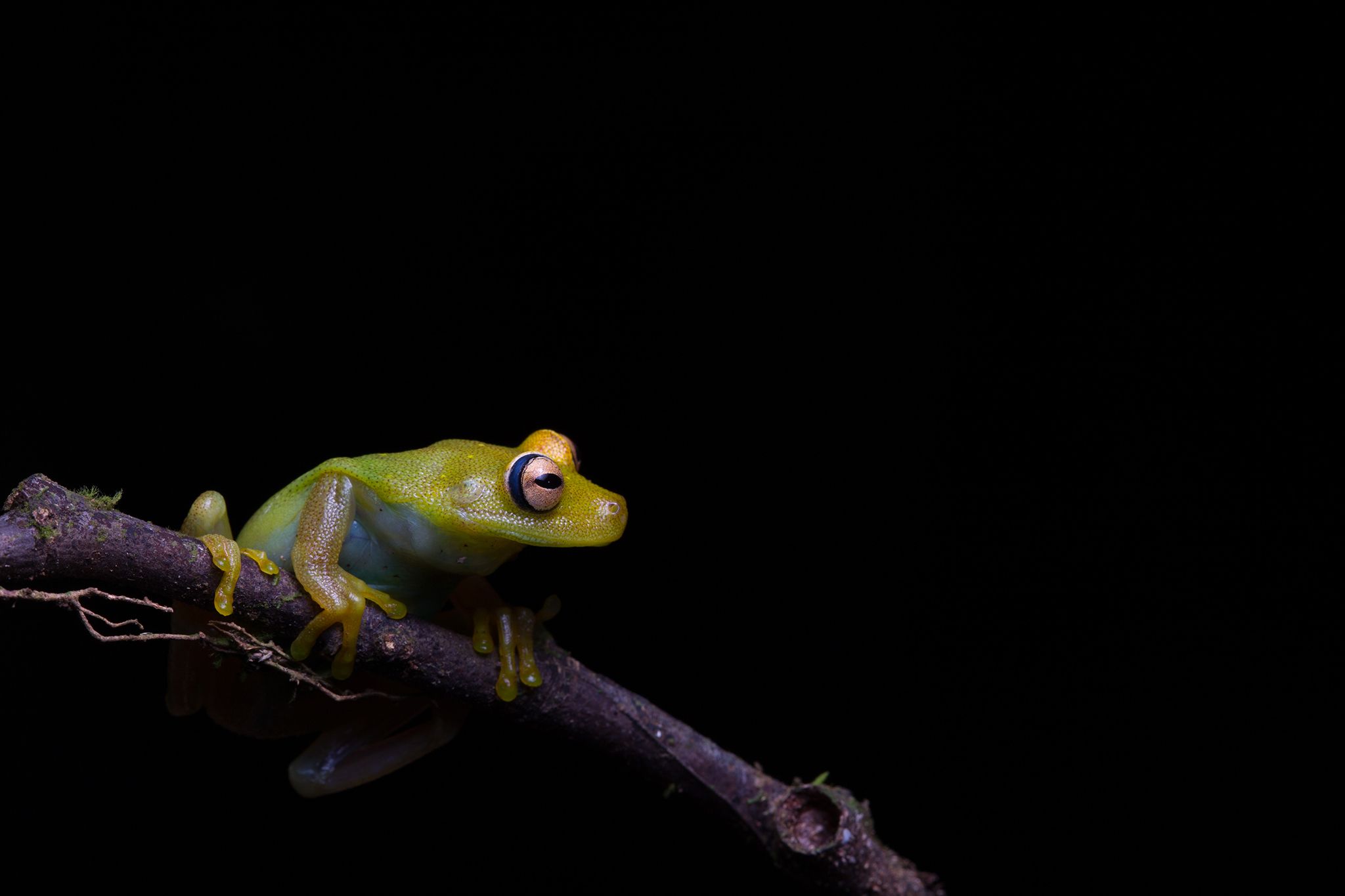 A Demerara Falls tree frog (Hypsiboas cinerascens)