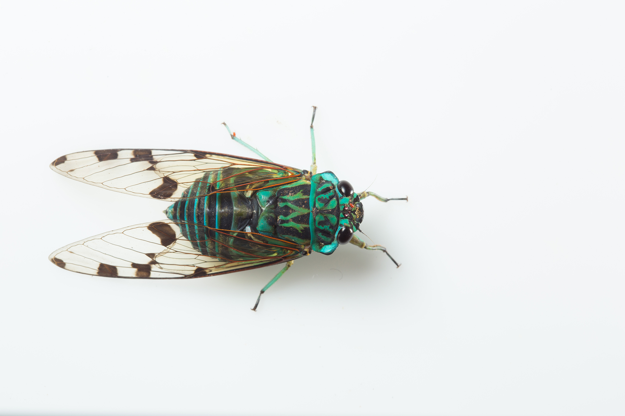 This cicada (Zamarra sp.) is one of the more colorful species in Yasuní—and also one of the loudest, typically calling raucously throughout the day.