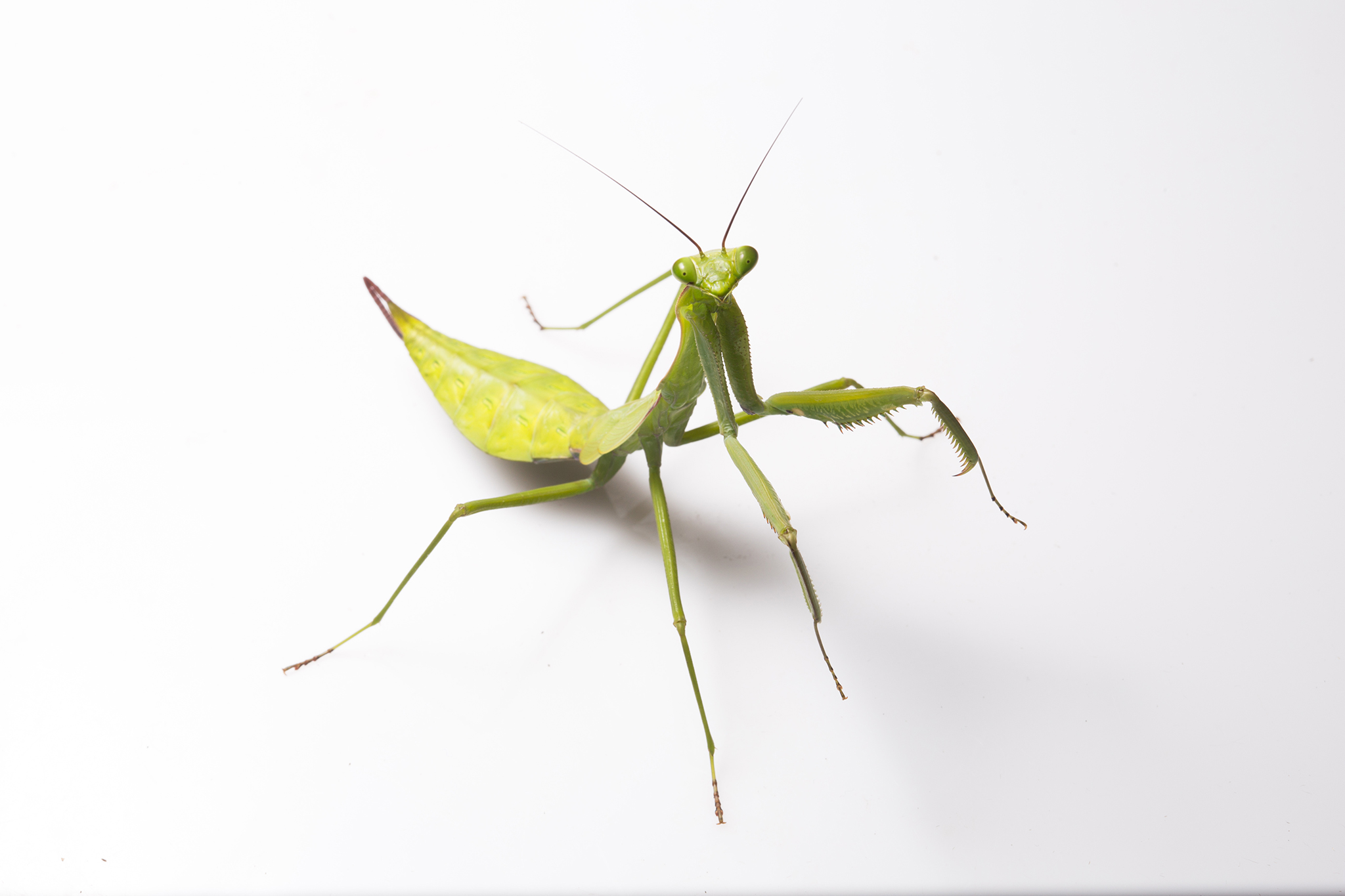 A praying mantis (Macromantis hyalina) is one of hundreds of insect species commonly encountered at night in Yasuní.