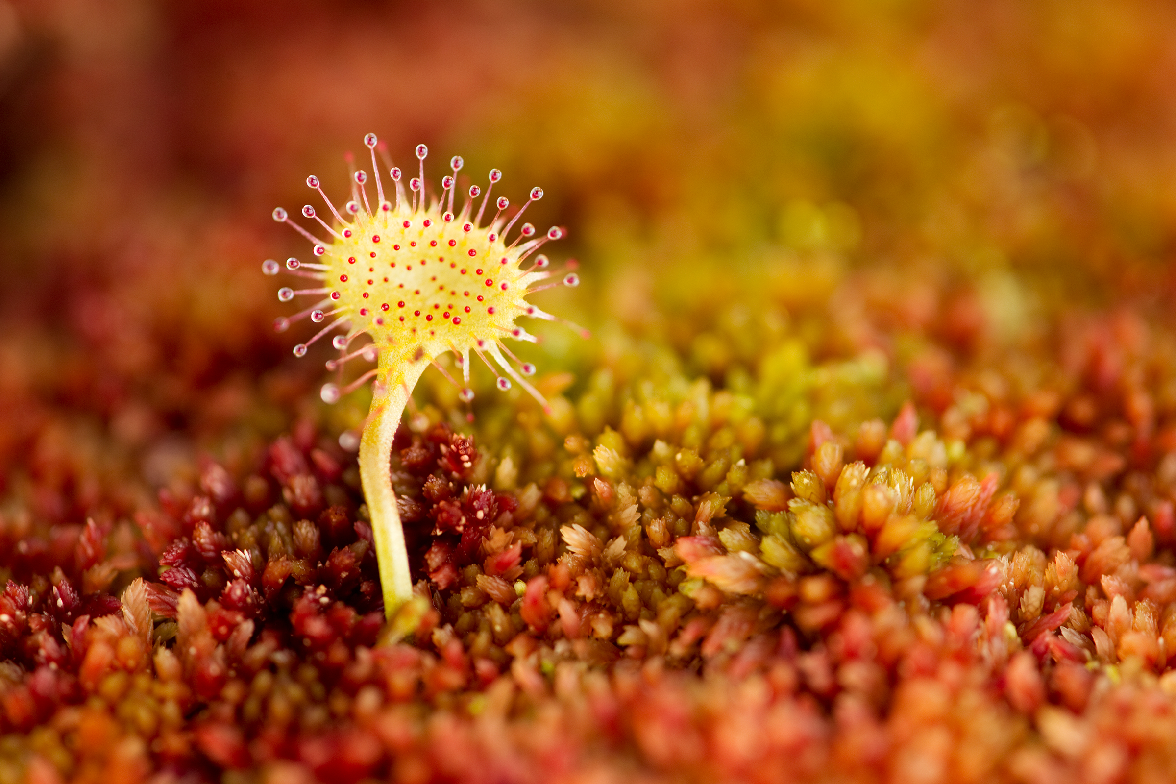 A sundew pops up over a dense blanket of Sphagnum moss.