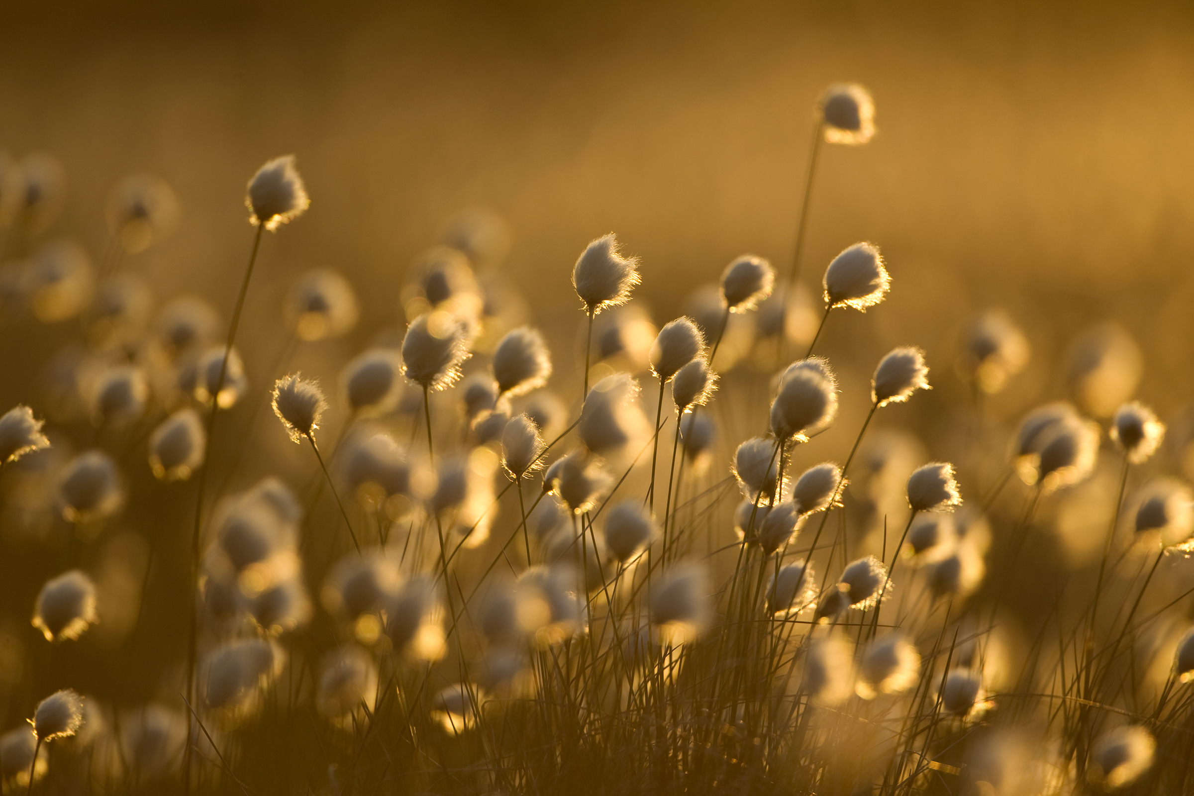 A crop of harestail cotton-grass practically glows in Scotland's late-evening light.