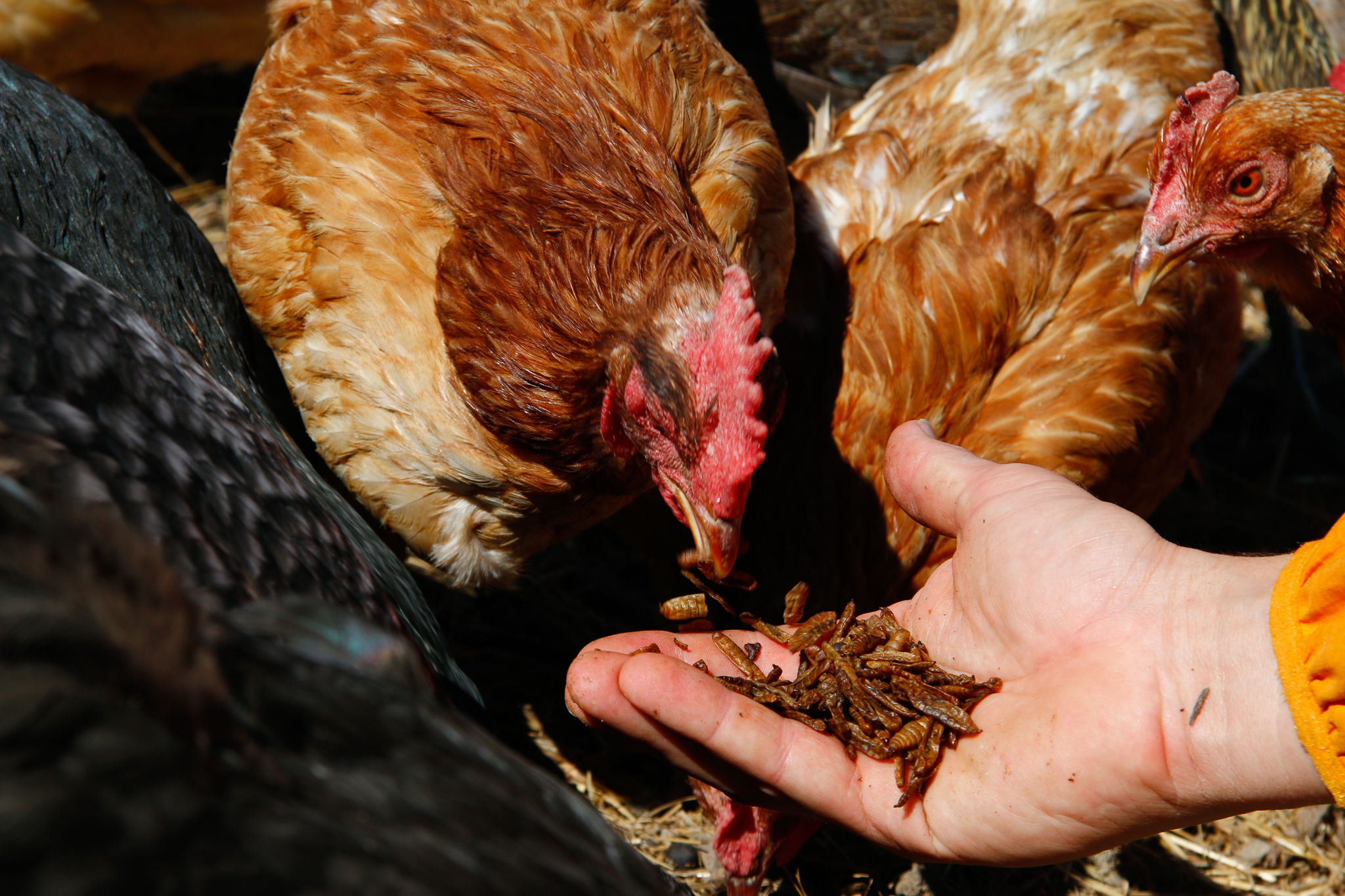 Many black soldier fly larvae producers are working toward federal approval of their products as poultry feed.