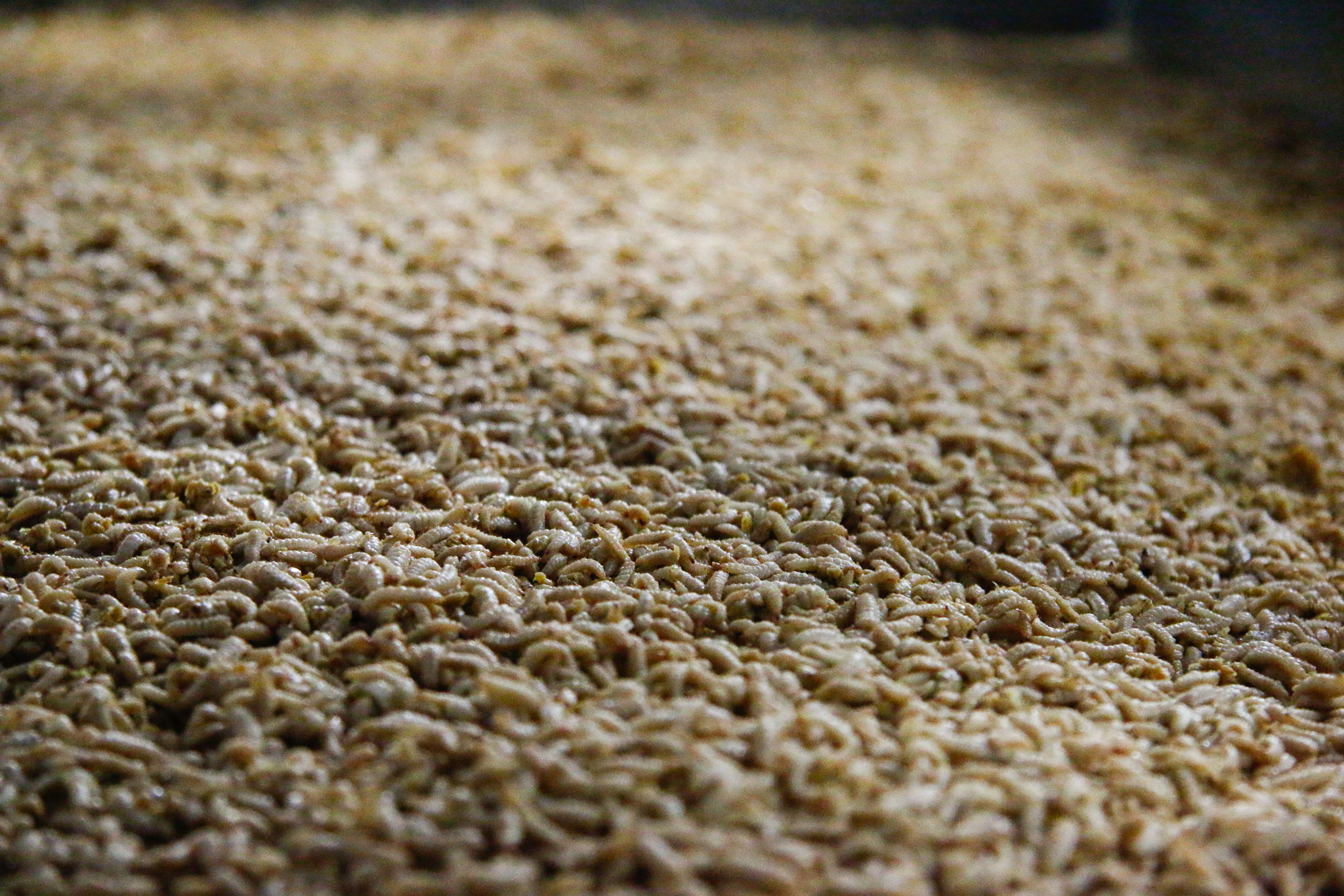 Millions of larvae at the large-scale EnviroFlight factory are fed on a steady diet of cookie meal—pre-consumer bakery residue that is dried so that it won't spoil.