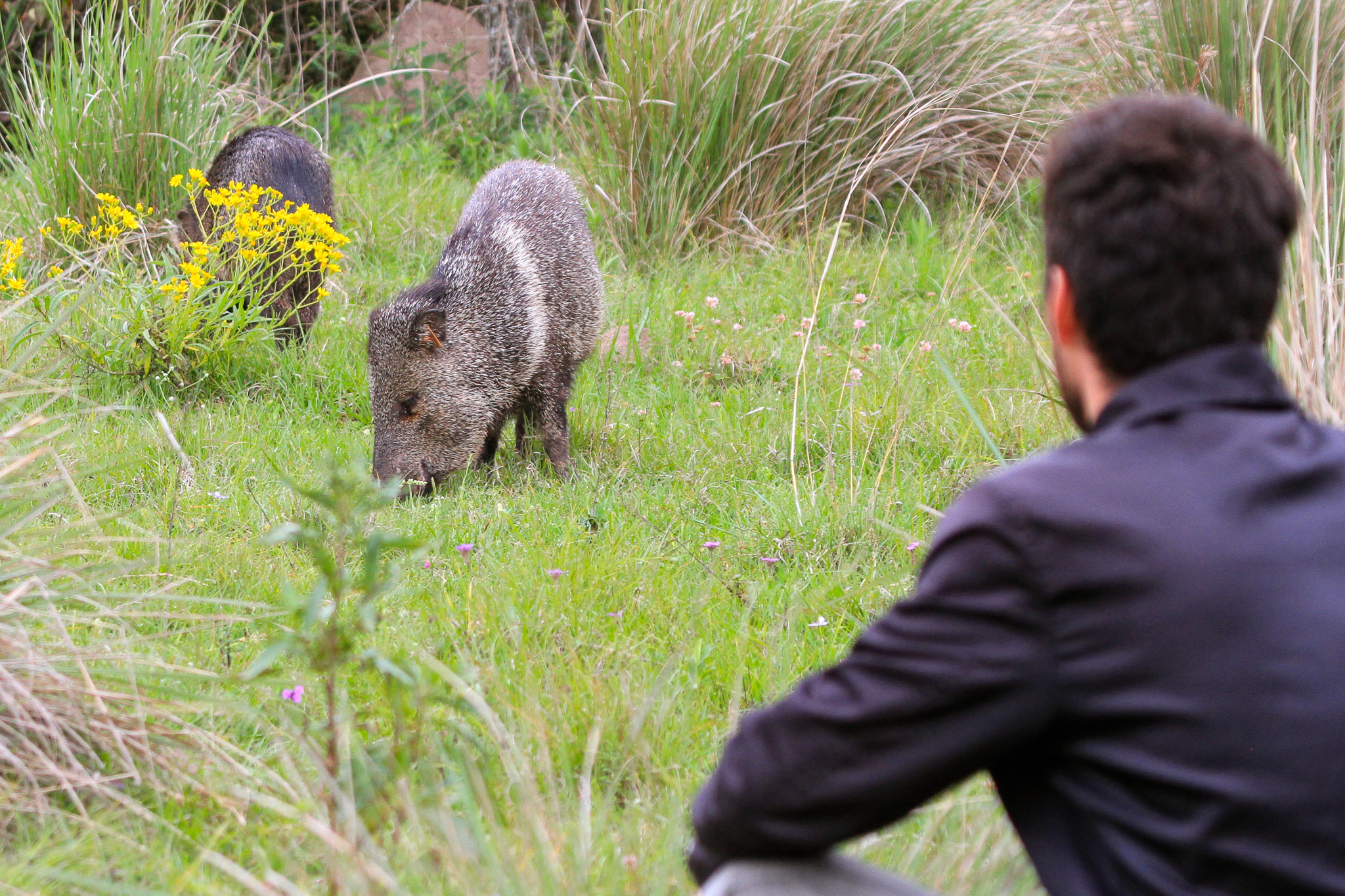 Manuel Galetto, a biologist with the Conservation Land Trust, observes at close quarters a herd of reintroduced collared peccaries. Once native to Iberá, these individuals are adapting well to their species' former home.—Photo by Mike Unwin