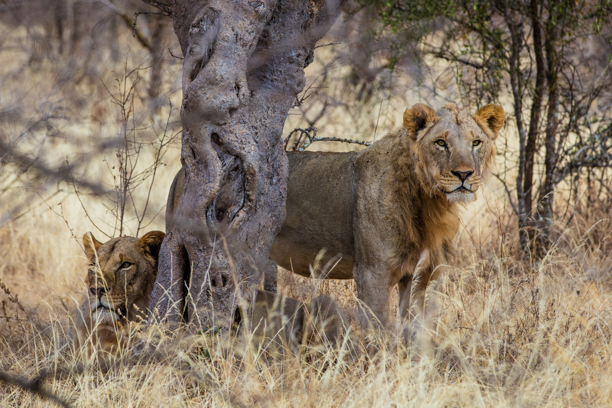 A pair of male lions takes shelter in the shade of a tree.