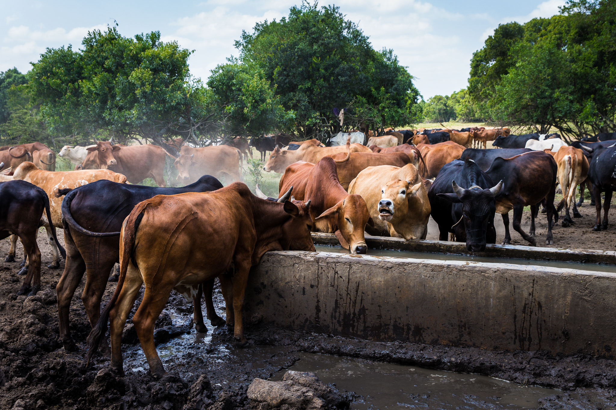 This cattle trough stands just a few kilometers outside the Masai Mara National Reserve. For the Maasai, cattle are not merely symbolic of status and wealth—they are often used as a form of currency.