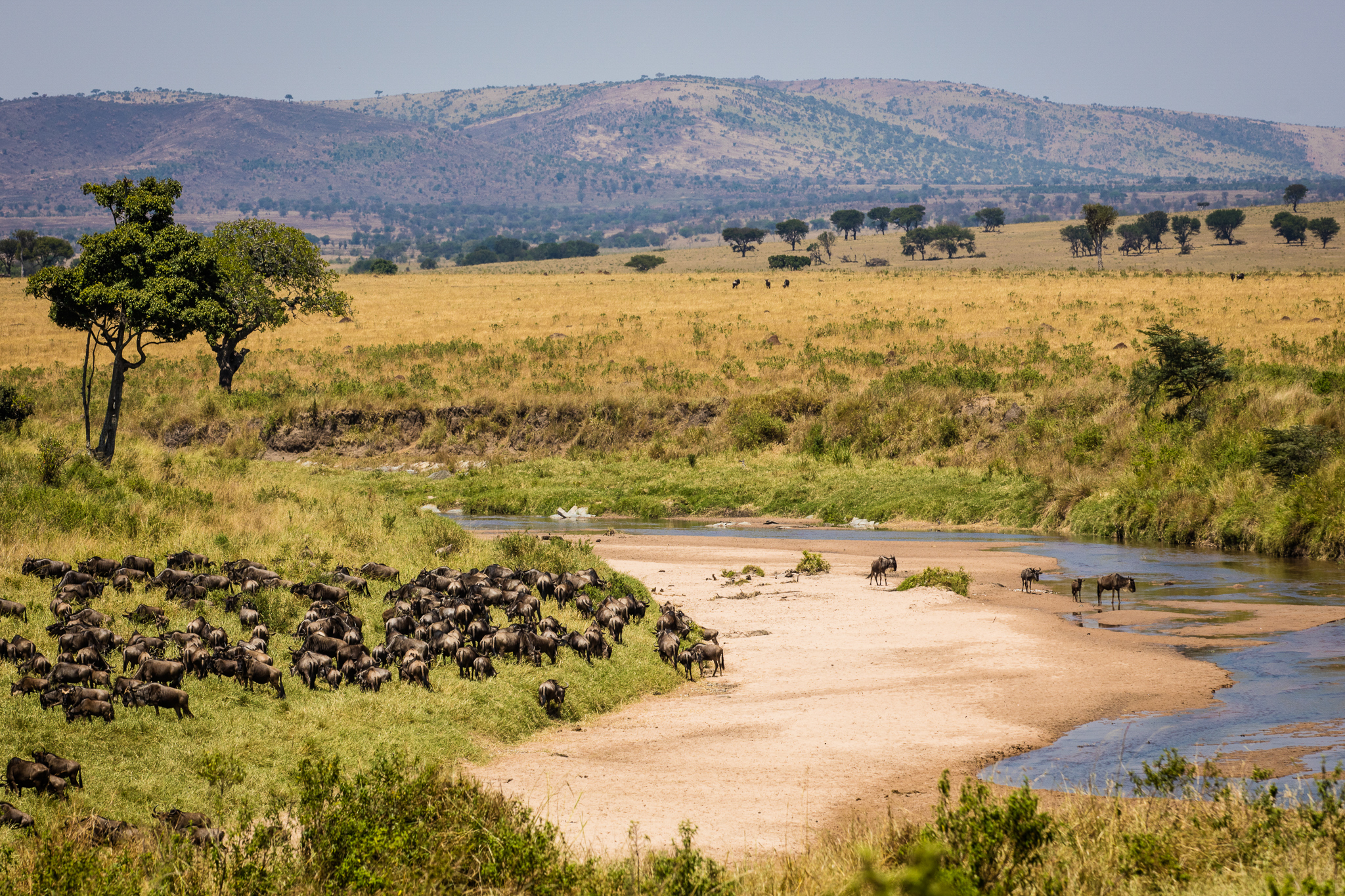Wildebeest pause before crossing the Sand River. While the Masai Mara's resident wildebeest are all but gone—their numbers decimated primarily by agricultural expansion—every year, more than a million cross the border from Tanzania's Serengeti National Park.