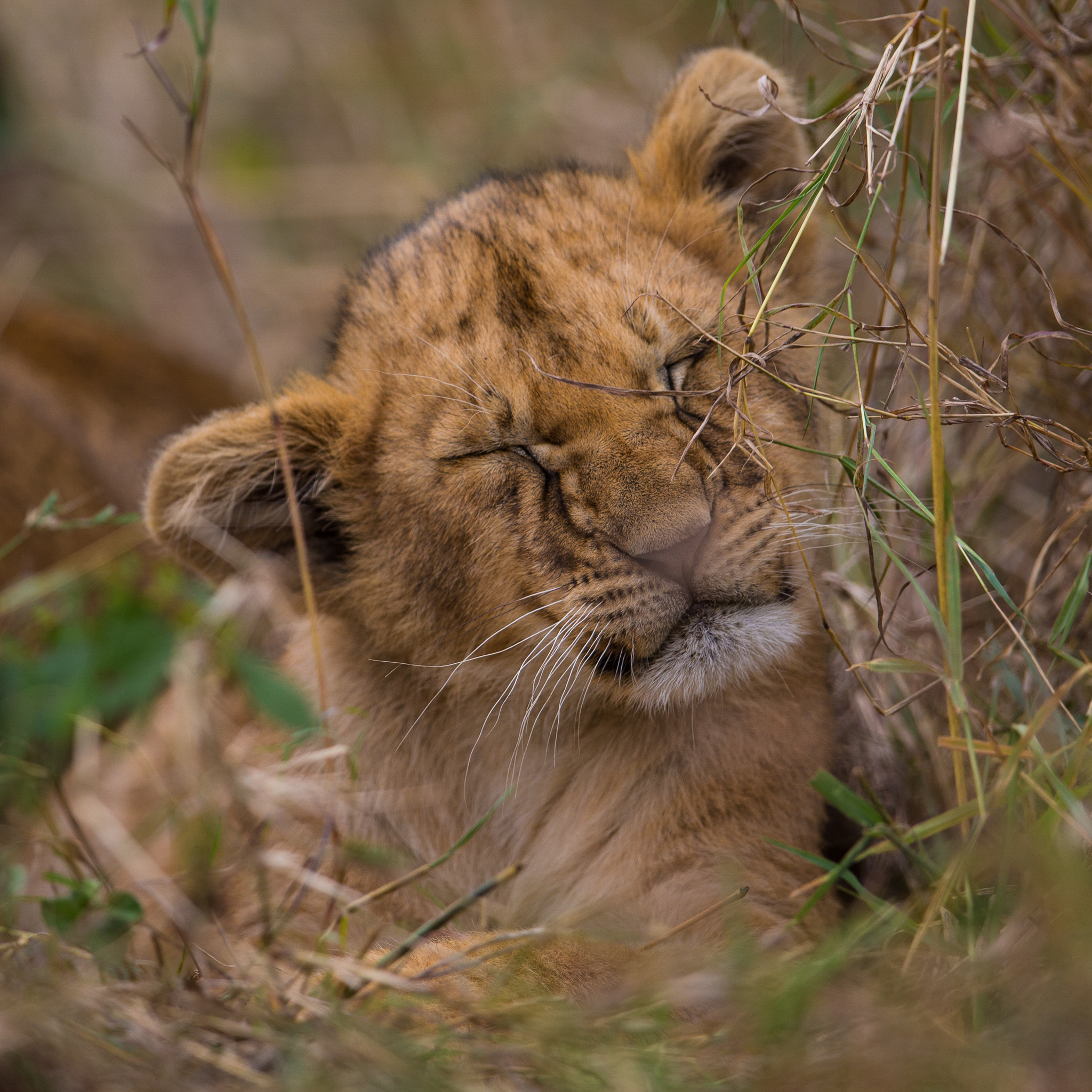 One of the Masai Mara's next generation of lions