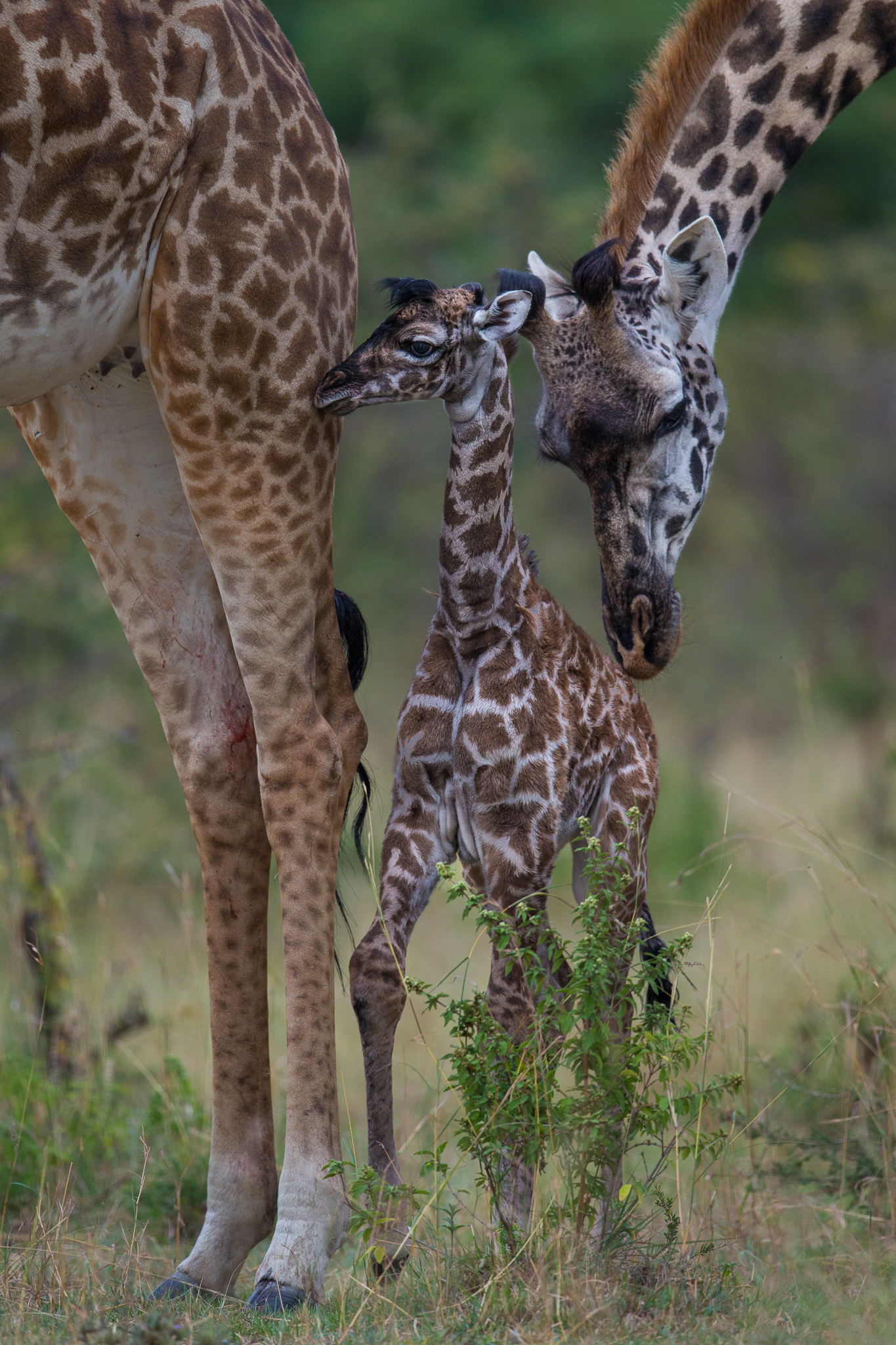 A newborn giraffe stands close to its mother while family members investigate the group's latest addition.