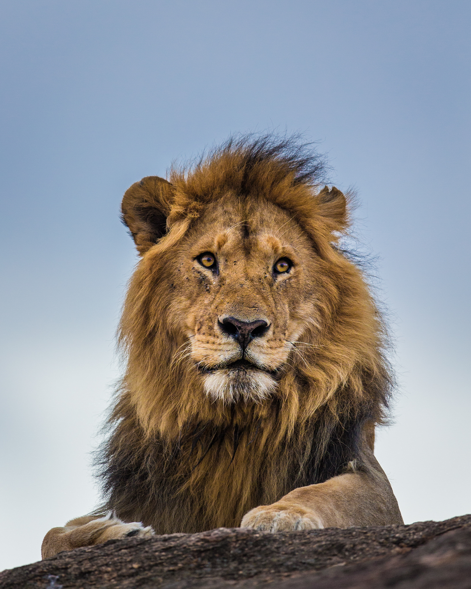 A male lion surveys his territory on the outskirts of the Masai Mara National Reserve.