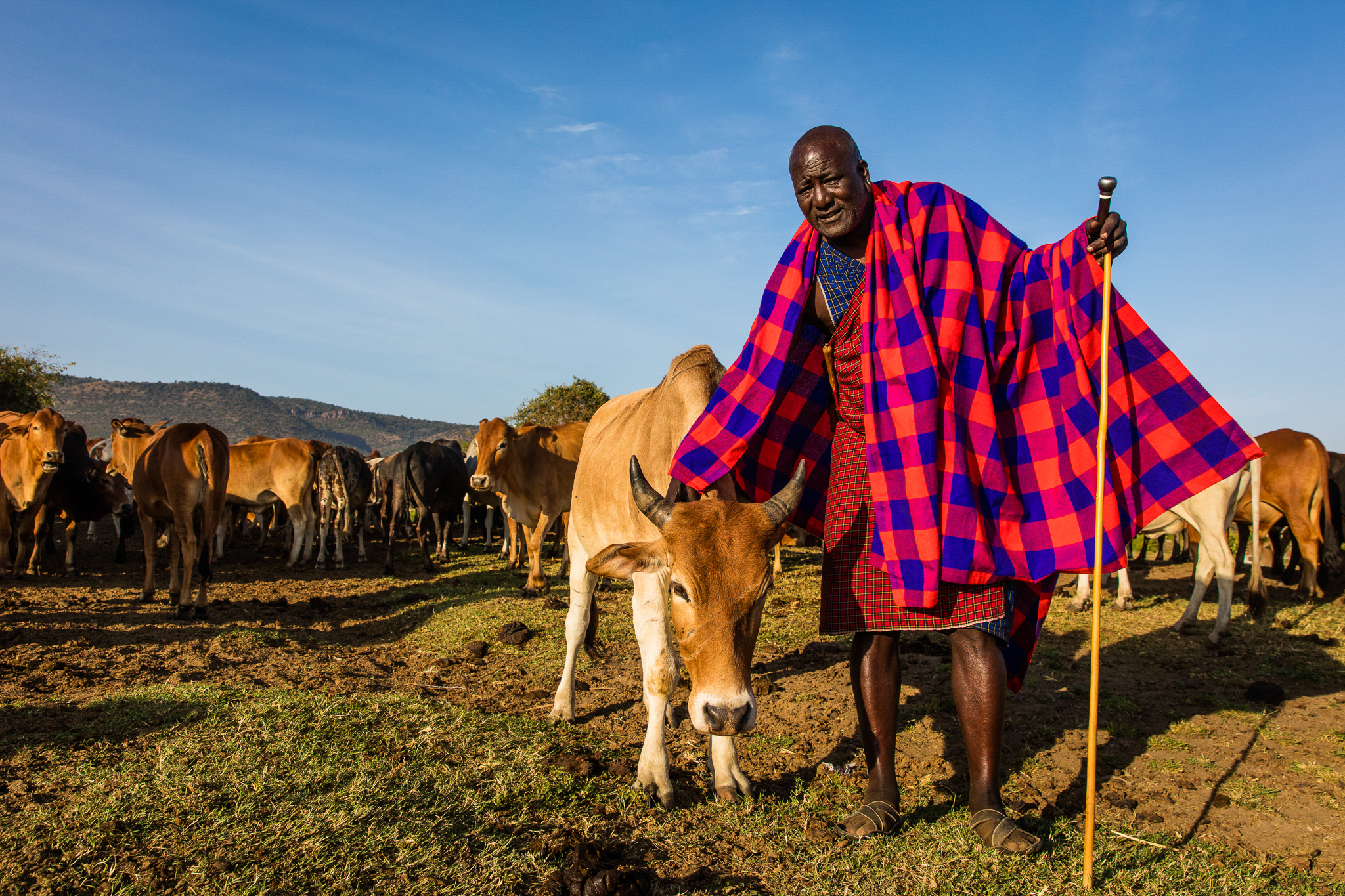 Kelian Ole Mbirikani, a member of the Olderkesi Land Committee and Chairman of the Olentoroto land owners group, stands with one of his many cattle.
