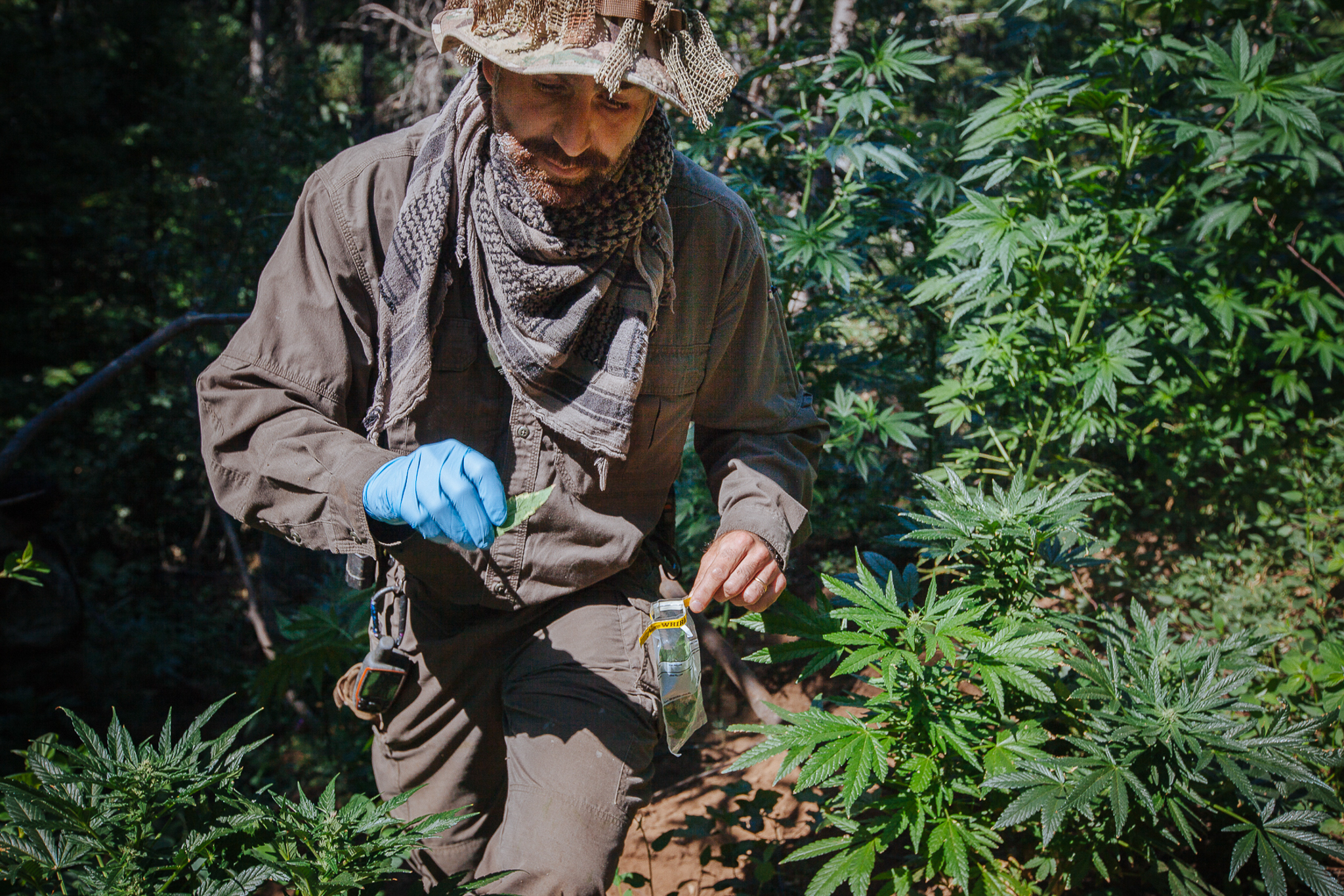 Dr. Mourad Gabriel picks leaves from marijuana plants across an illegal grow in Plumas National Forest. He will analyze the leaves for signs of illegal pesticides on the plants.