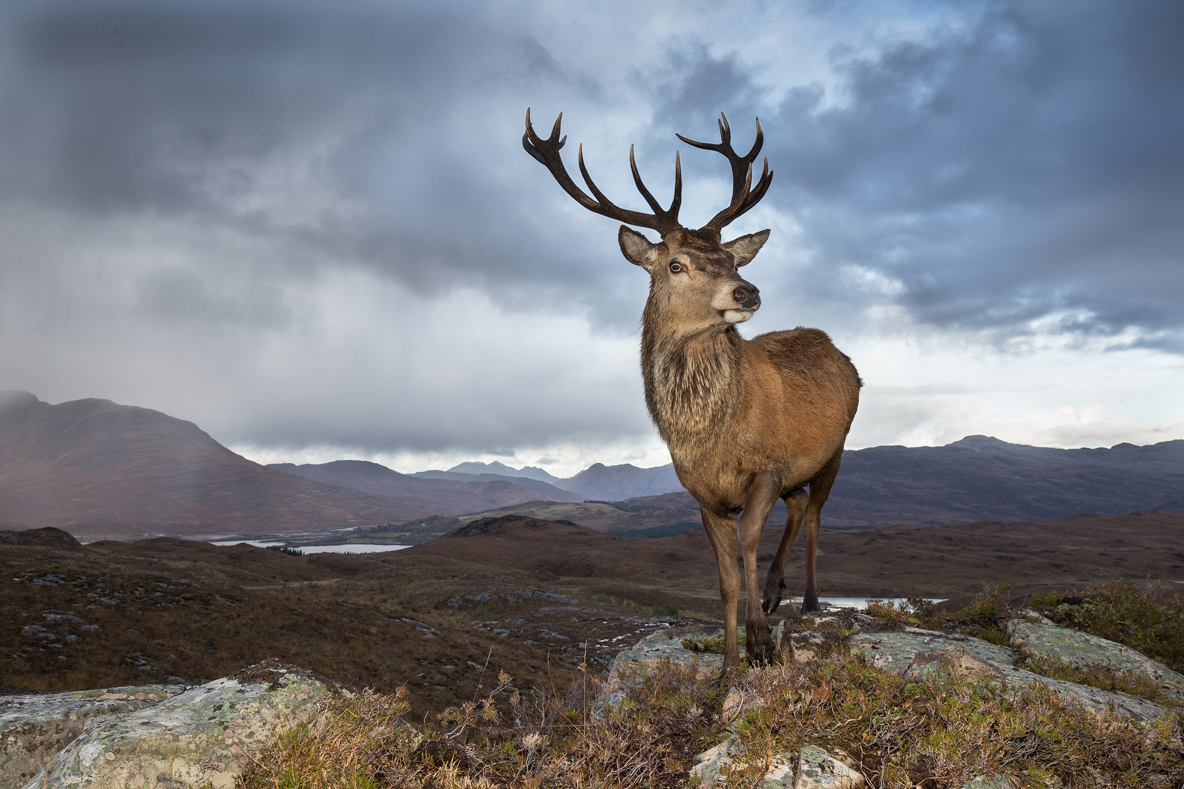 A male red deer surveys the bog landscape it calls home.