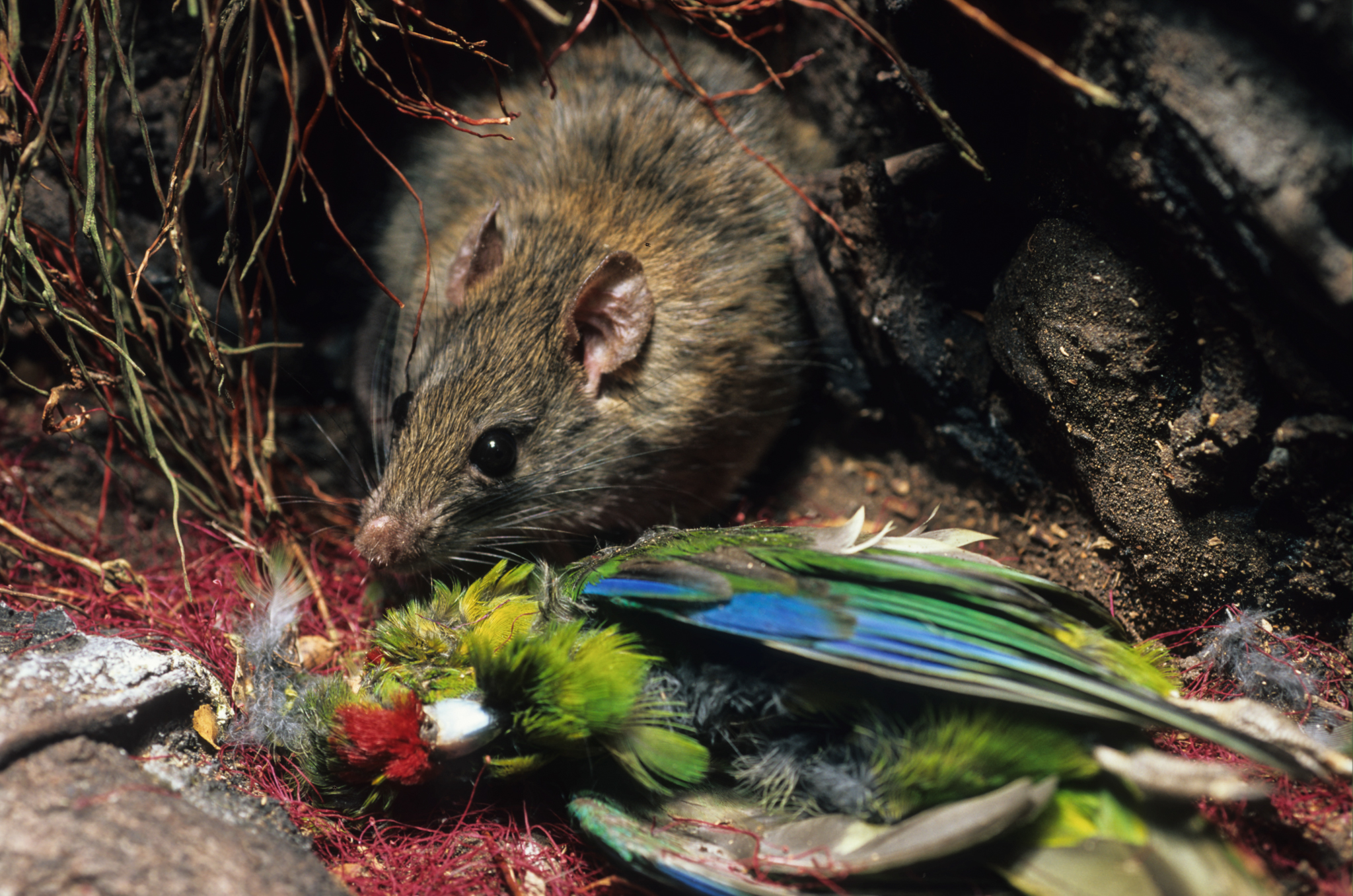 A ship rat (Rattus rattus) polishes off a predated kakariki bird on its nest. The rat species is a notorious predator of native birds and their eggs. Photograph by Rod Morris / www.rodmorris.co.nz