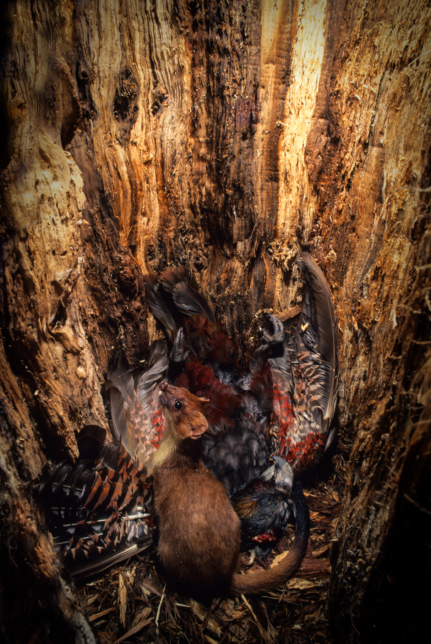 On her nest inside a hollow tree, a female South Island kaka falls victim to an invasive stoat. Photograph by Rod Morris / www.rodmorris.co.nz