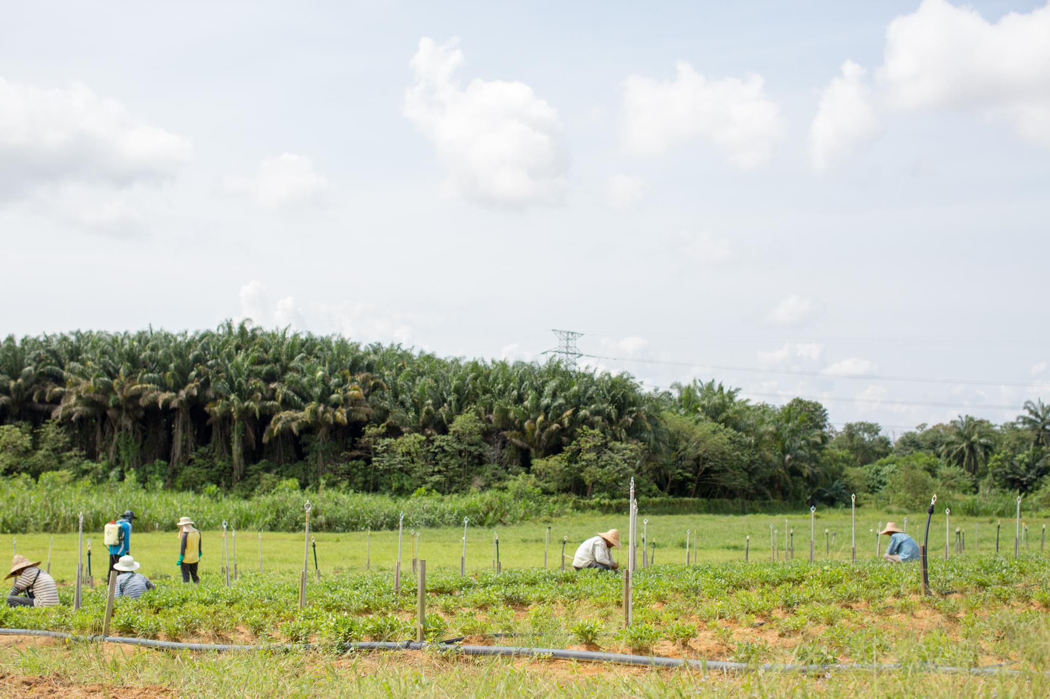 Farmworkers tend a field of Bambara groundnuts in Semenyih, Malaysia.