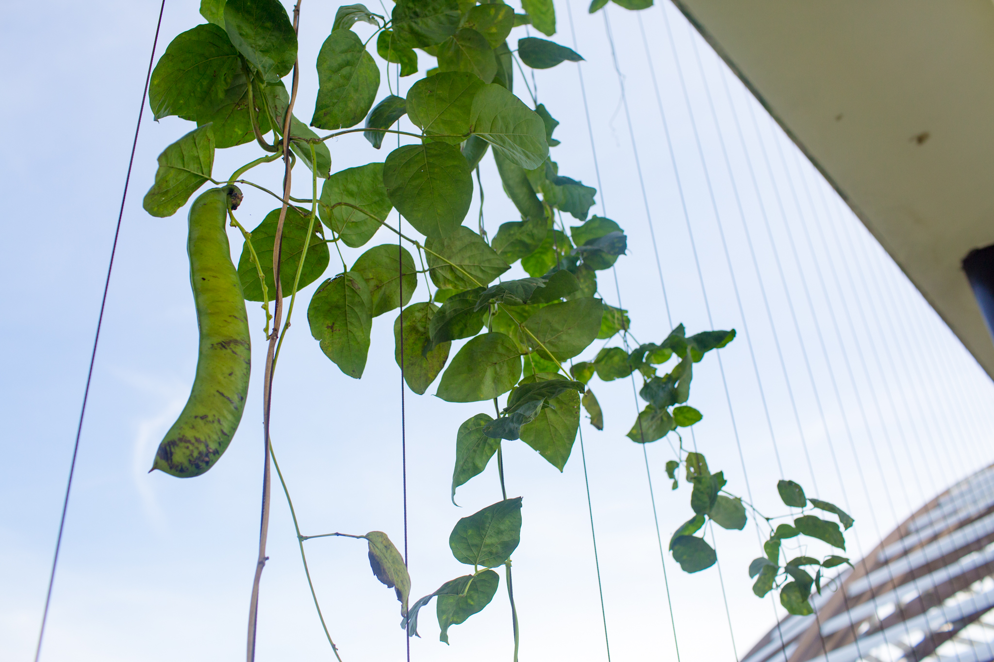 A sword bean hangs from its vine inside one of the domes at Crops for the Future.