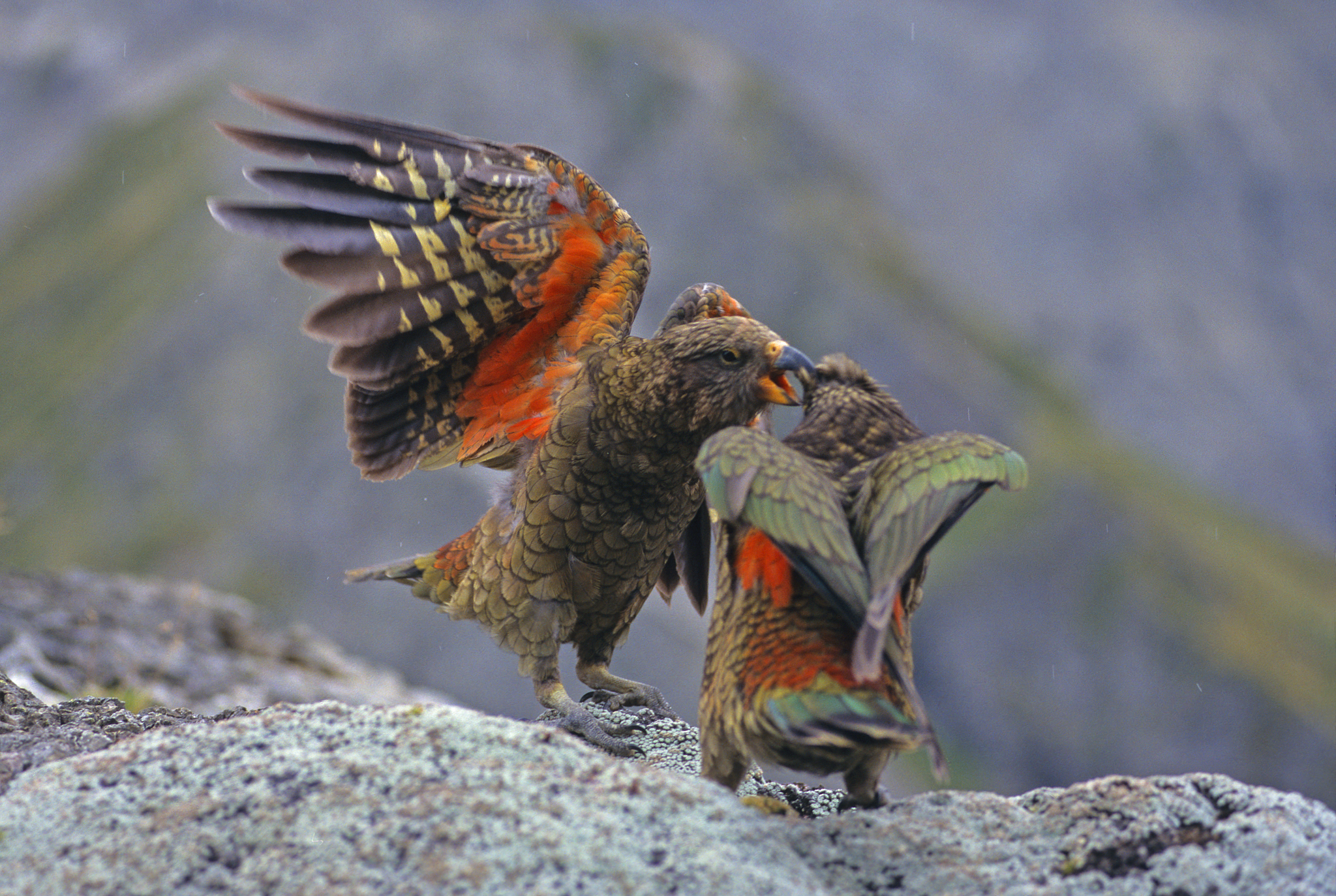 Two young kea play, revealing the flash of orange underwing that contrasts with the rest of their olive green feathers. Photograph by Rod Morris / www.rodmorris.co.nz