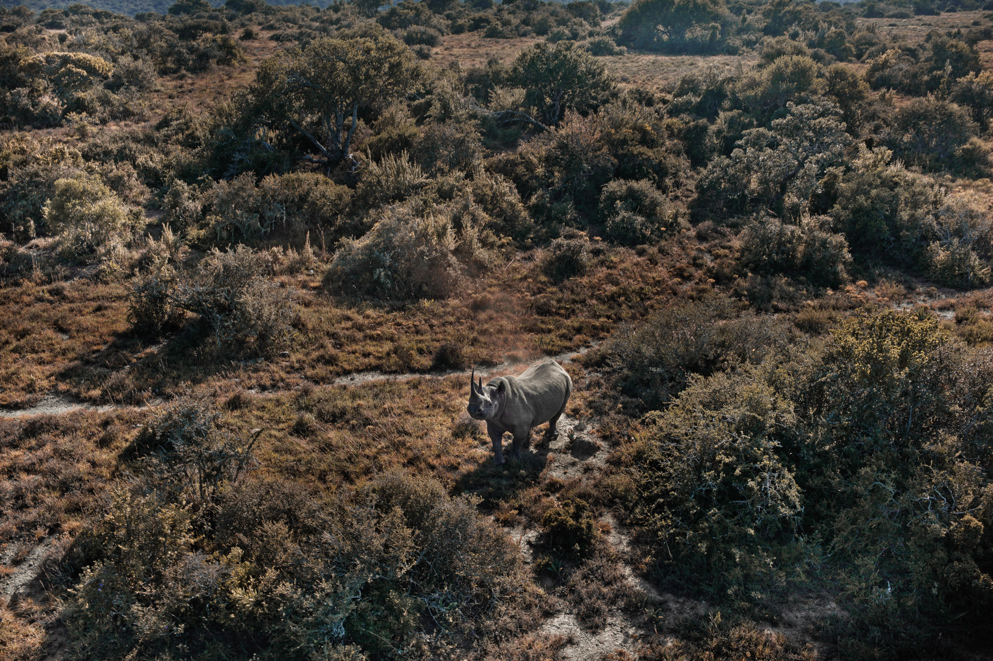 Declared by some to be extinct in Mozambique as recently as 2013, rhinos like this one have begun to make their way back across the country's border with South Africa. Protection by IAPF rangers has been instrumental to this comeback. Photograph by Erico Hiller