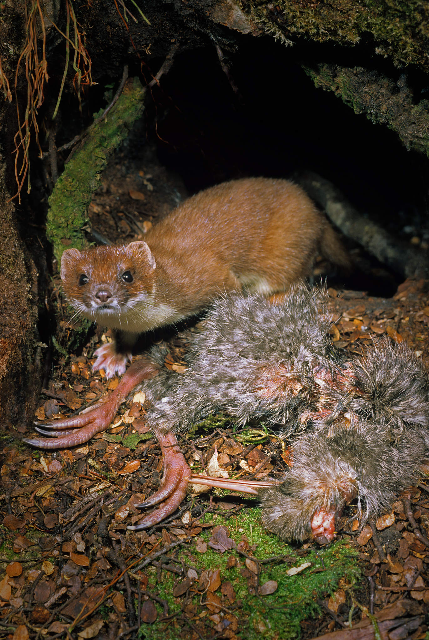 A stoat (Mustela erminea) guards its latest kill: a young great-spotted kiwi chick (Apteryx haastii), just outside the bird's burrow. Photograph by Rod Morris / www.rodmorris.co.nz