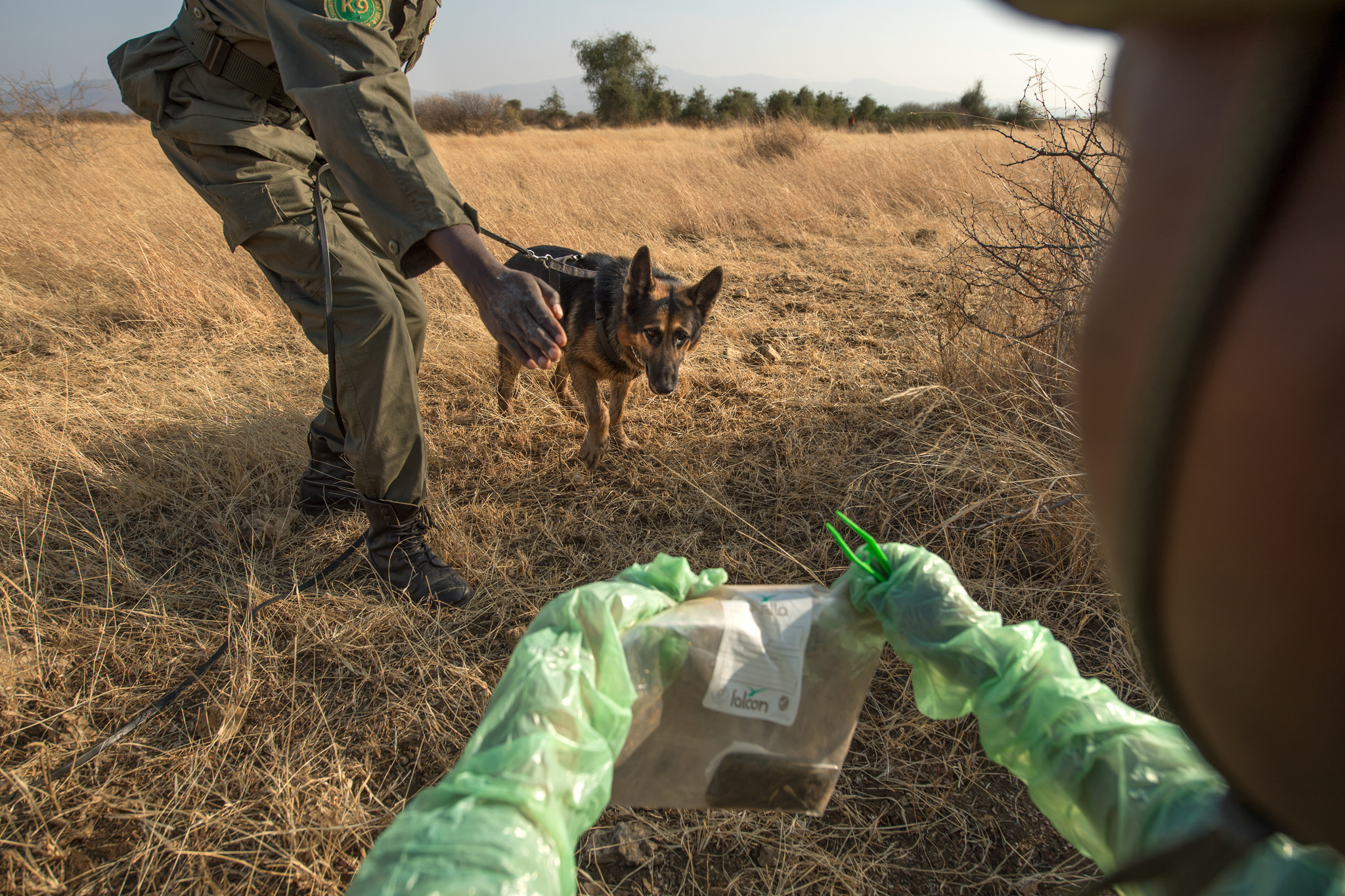 Kayongo Kalasinga prepares a training exercise for tracker dog Rocky. First, Kalasinga places fresh gauze over the footprints to absorb the person's smell. Then the gauze is presented to the dog to track the source.