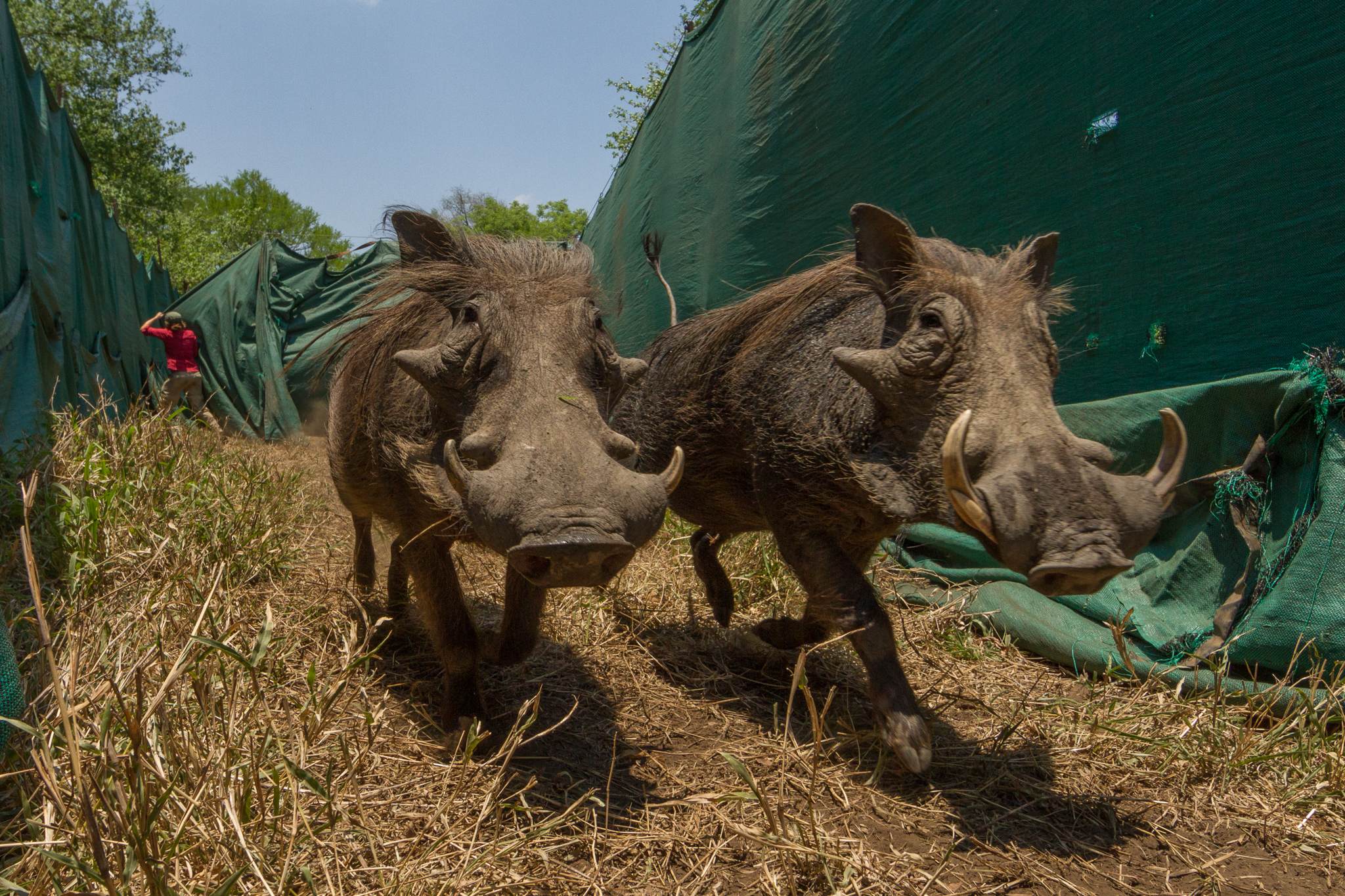 Two warthogs (Phacochoerus africanus) are pushed by a helicopter toward a transport truck through a huge fabric funnel, as workers close curtains behind them so they can't escape. The warthogs will soon start a new life in the southern part of the country, where wildlife populations are still struggling to recover after the war. These wildlife captures are a testament to the success of the park's restoration: Some species, like these warthogs, are now so abundant that managers are able to send them to other parks to help in their conservation efforts.