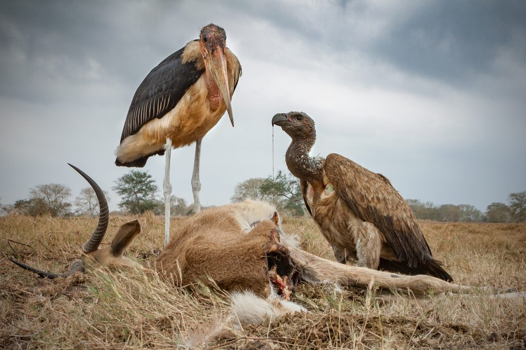 A marabou stork (Leptoptilos crumenifer) looks for its next bite as it stands near a white-backed vulture (Gyps africanus) feeding on a waterbuck carcass (Kobus ellipsiprymnus).