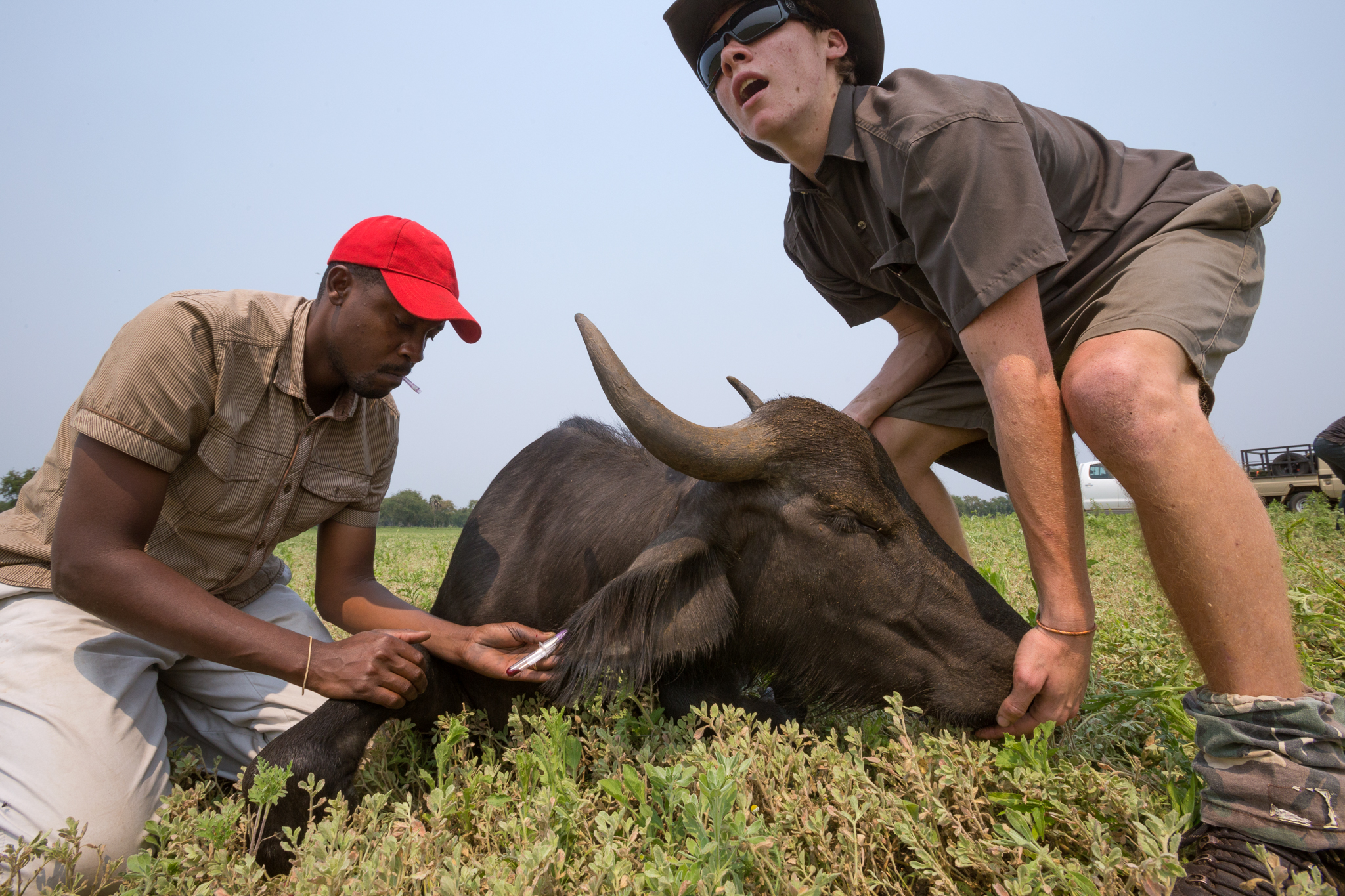 A veterinarian in Gorongosa National Park takes a blood sample from a water buffalo (Bubalus bubalis) prior to its release. Once abundant prior to Mozambique's 16-year-long civil war, the species has been slow to recover since restoration efforts began.