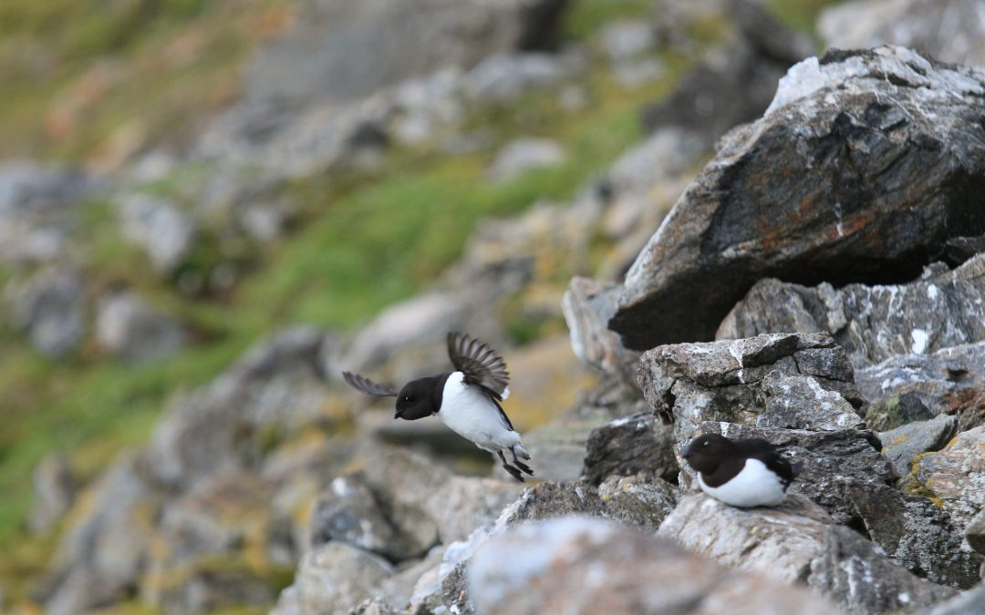 Little auks (Alle alle) flock to Hornsund each summer to nest and feed on a tiny, fat-filled crustacean called Calanus glacialis. The copepod lives in cold Arctic waters, often near the edge of the sea ice in the Arctic Ocean. Photograph by Hannah Hoag