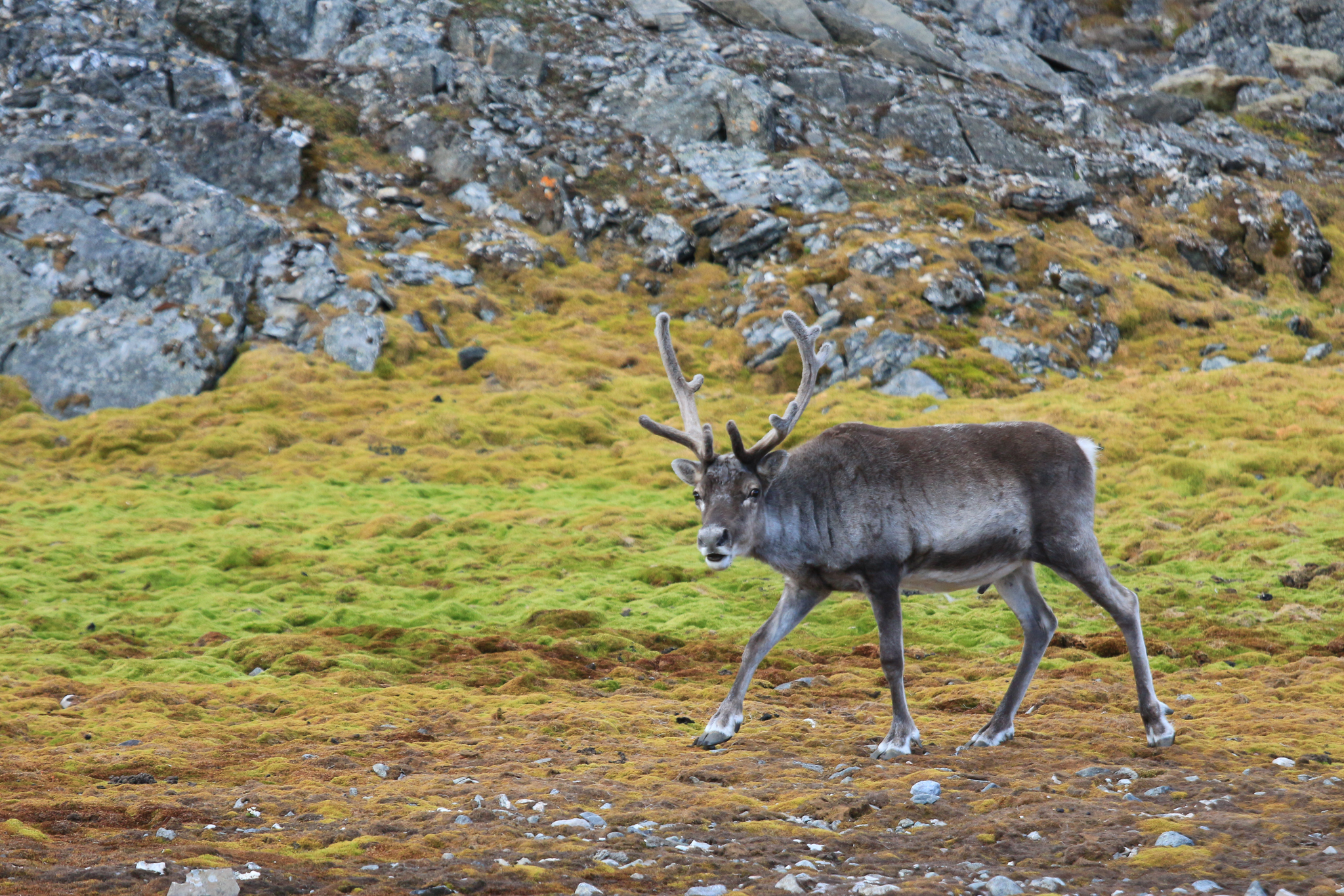 Svalbard reindeer (<em>Rangifer tarandus platyrhynchus</em>) are a smaller, endemic subspecies of reindeer. In the summer, they feed on the rich vegetation below little auk colonies to store fat for the sparse winter months. Photograph by Hannah Hoag