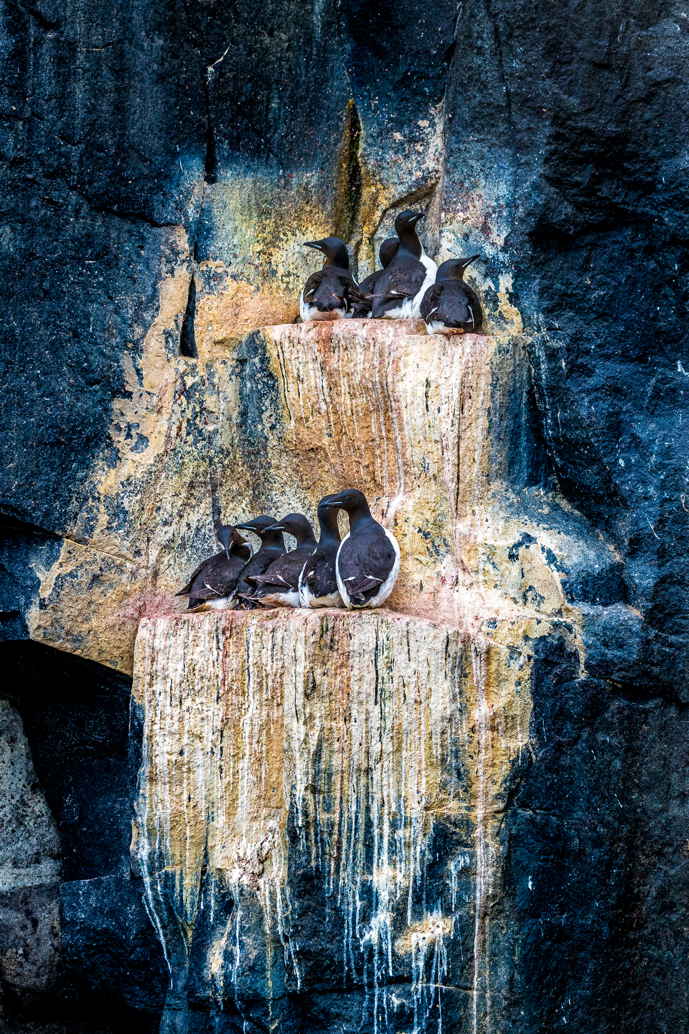 Brünnich's guillemots are the largest living members of the auk family. They crowd the narrow ledges of the dolerite cliffs of Kapp Fanshawe, Alkefjella. Photograph by Marcus Westberg