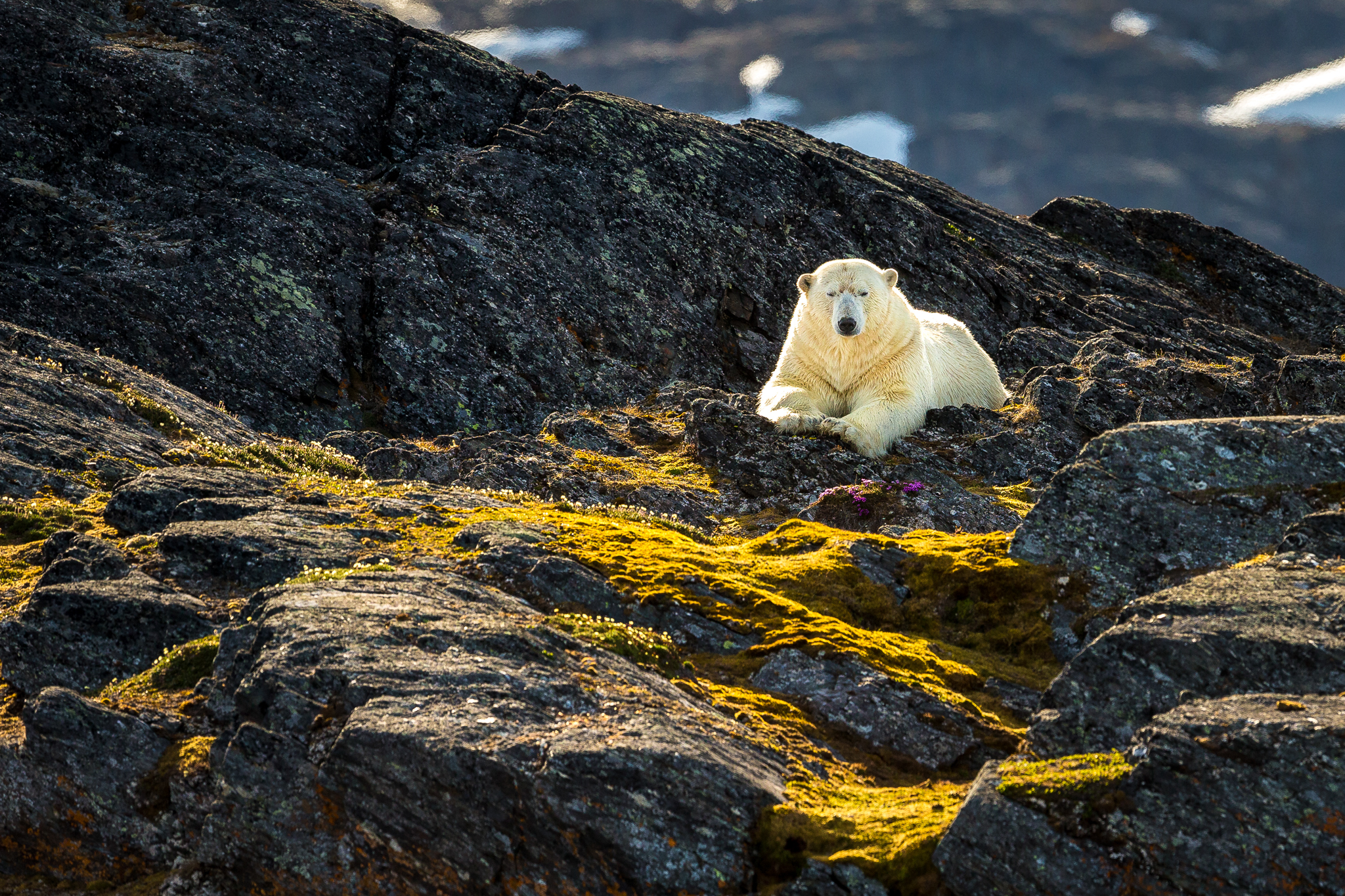 A polar bear rests in Svalbard after swimming from island to island in search of food. With the ice already gone, hunting options are limited. Recently, polar bears have been reported to feed on little auk eggs. Photograph by Marcus Westberg