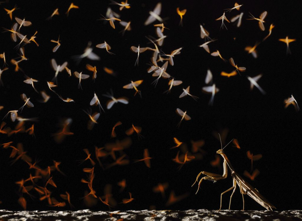 Mayflies and Preying Mantis