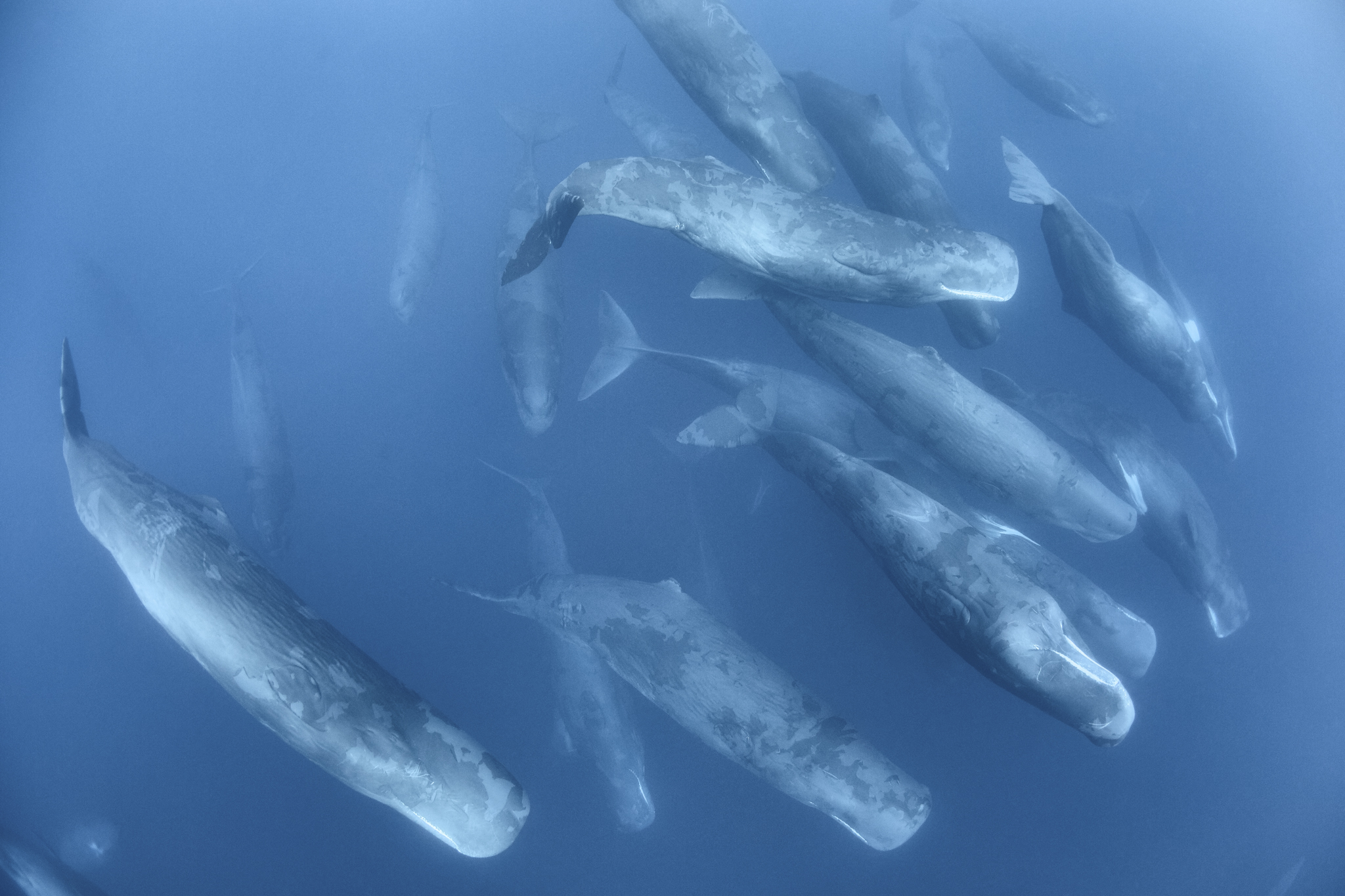 An aggregation of sperm whales (Physeter macrocephalus) engaged in social activity. The large gathering persisted for two days.
