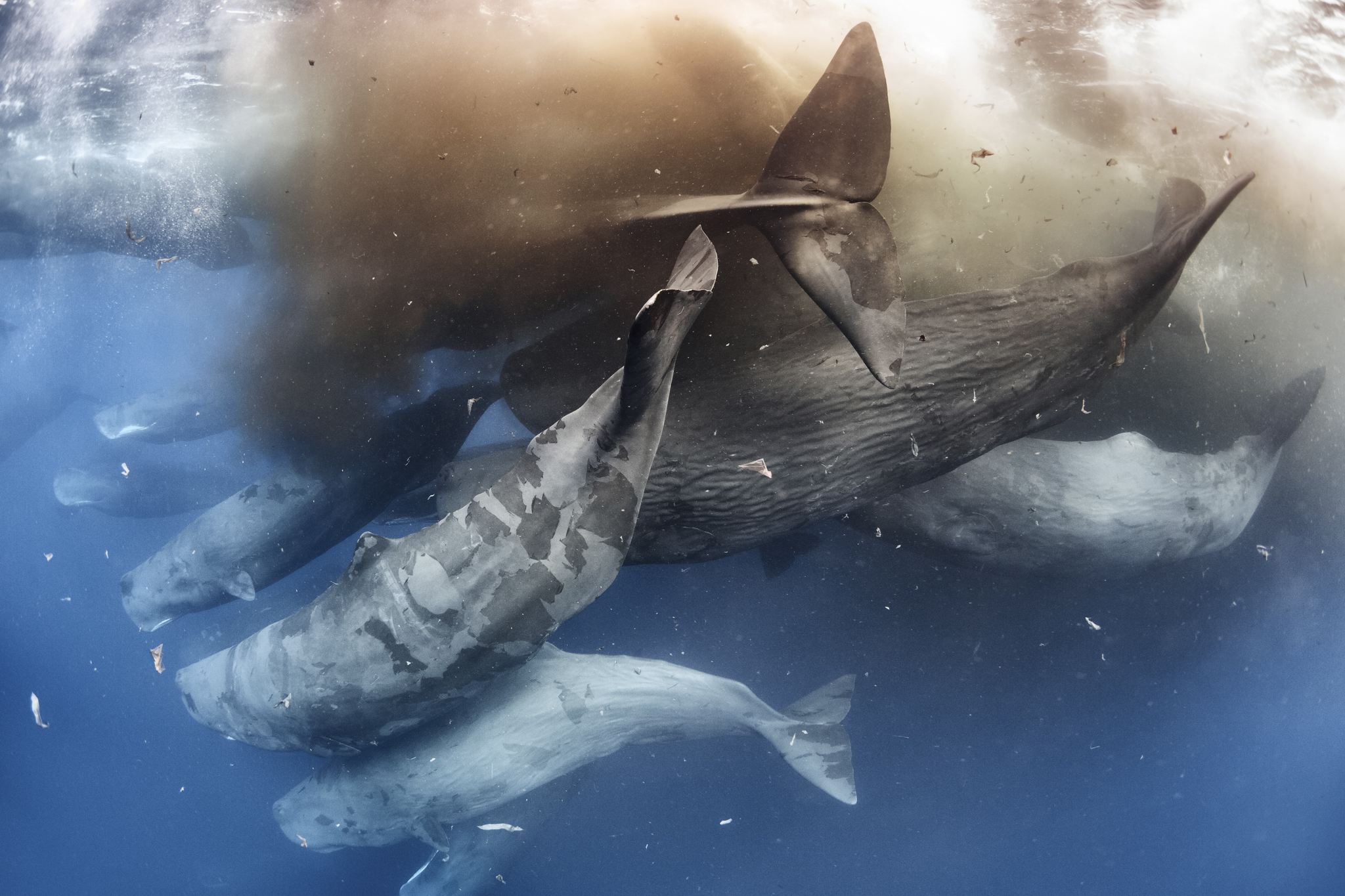 Sperm whales (<em>Physeter macrocephalus</em>) defecating while engaged in a massive social gathering. Defecation like this is common in sperm whale social gatherings, as is the shedding of skin, which further clouds the water in this shot.