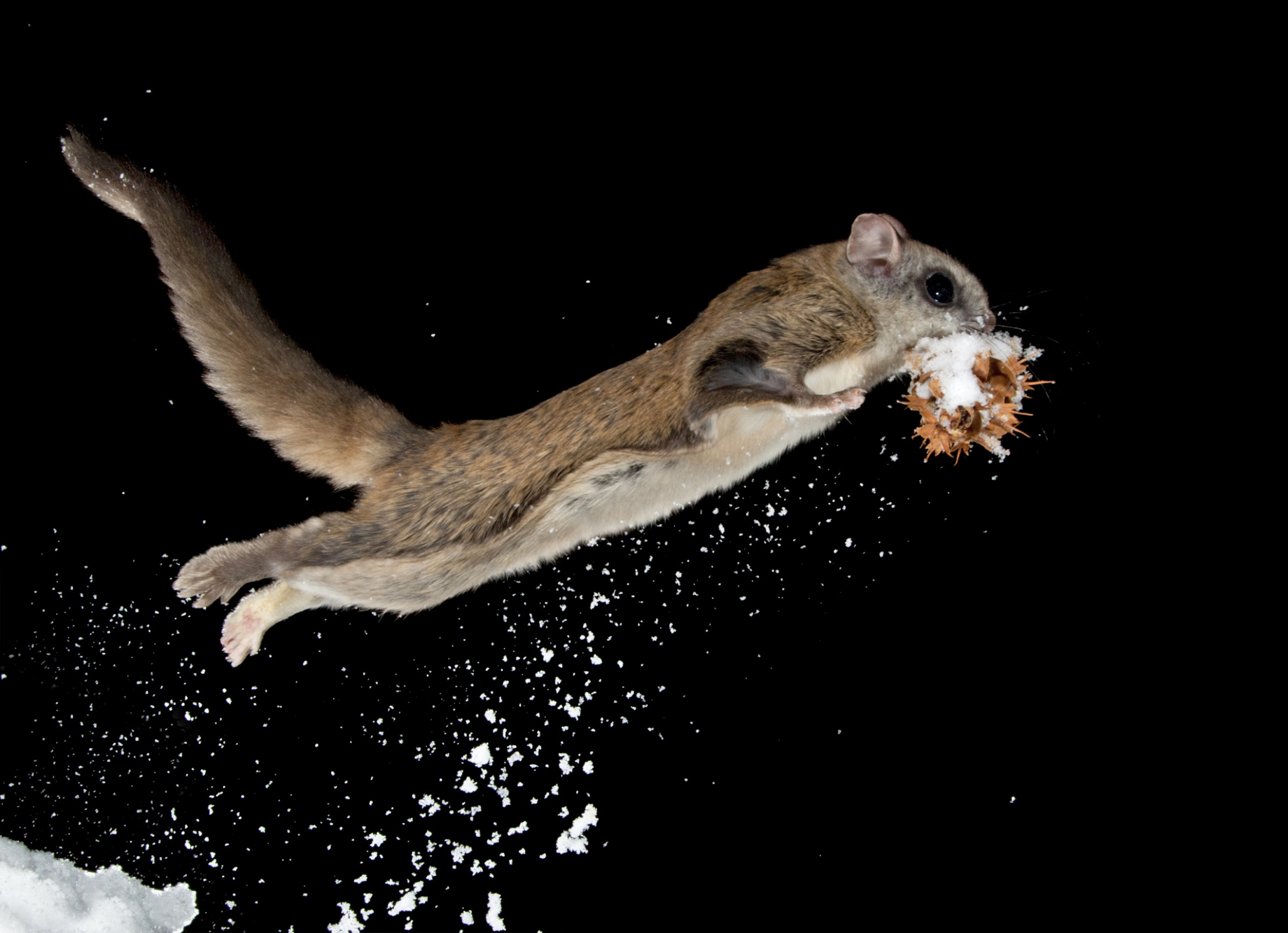 Flying squirrels are most vulnerable when on the ground as they rearrange cones and fungi in their food caches buried under the snow. Their defense is an explosive jump accompanied by an eruption of snow that tends to startle potential predators, buying the squirrels precious time to escape.