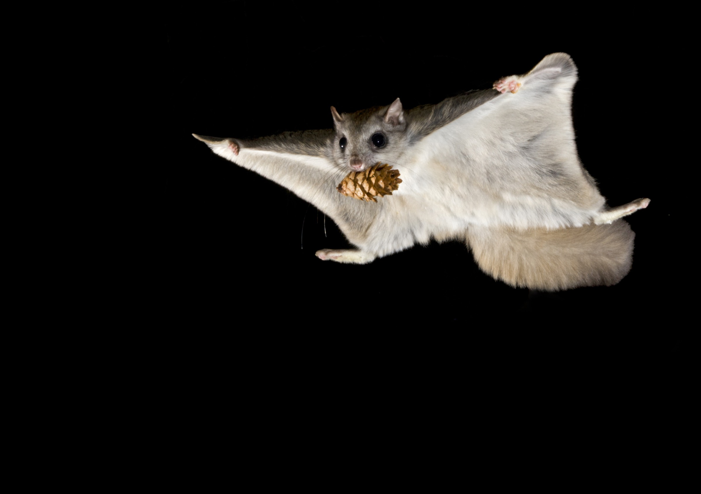 16-55-53_Badyaev_flyingsquirrel_41